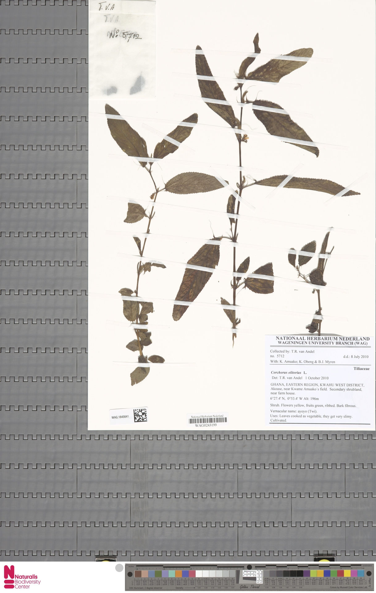 WAG.1845641 | Corchorus olitorius L.