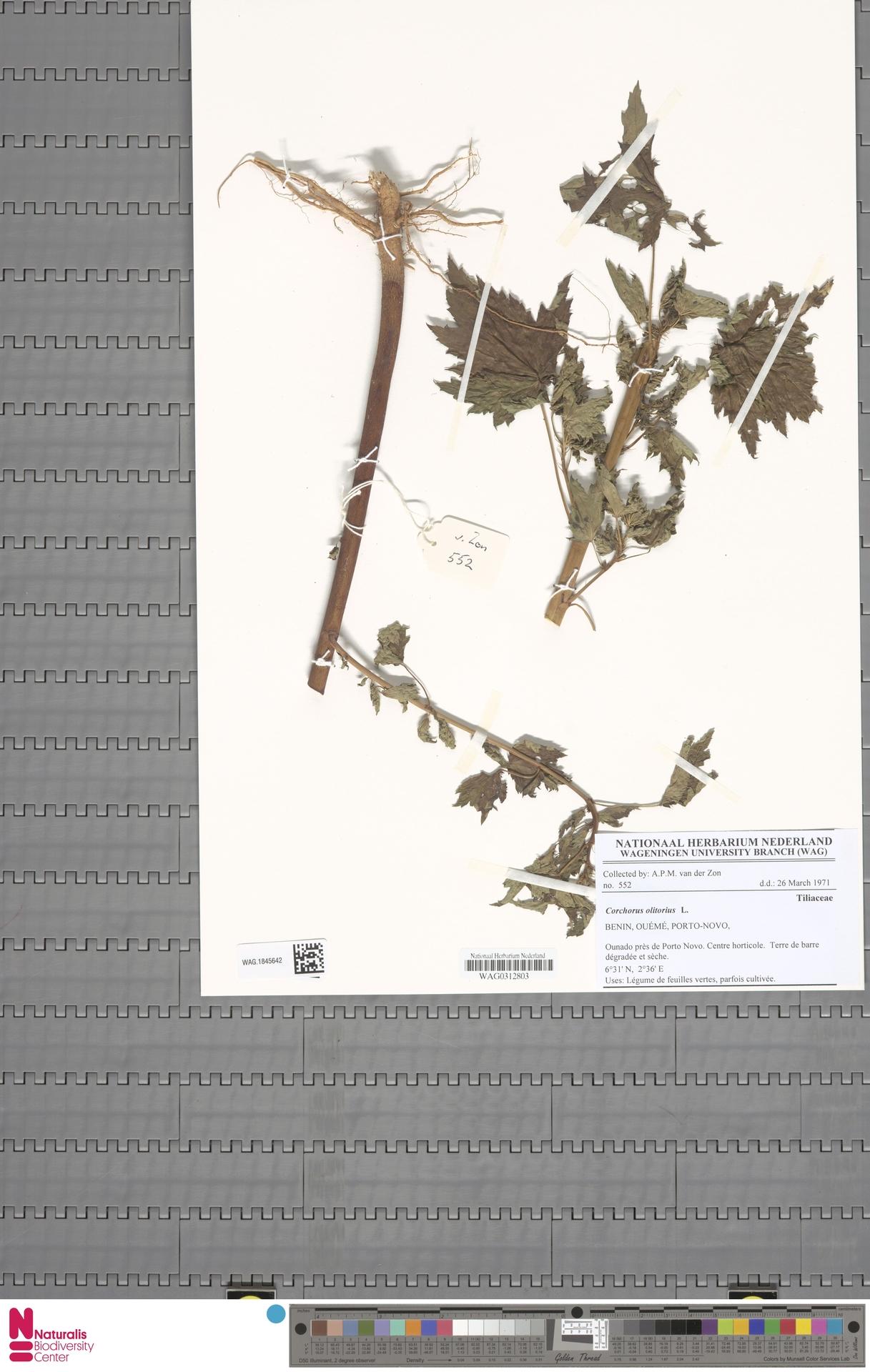 WAG.1845642 | Corchorus olitorius L.