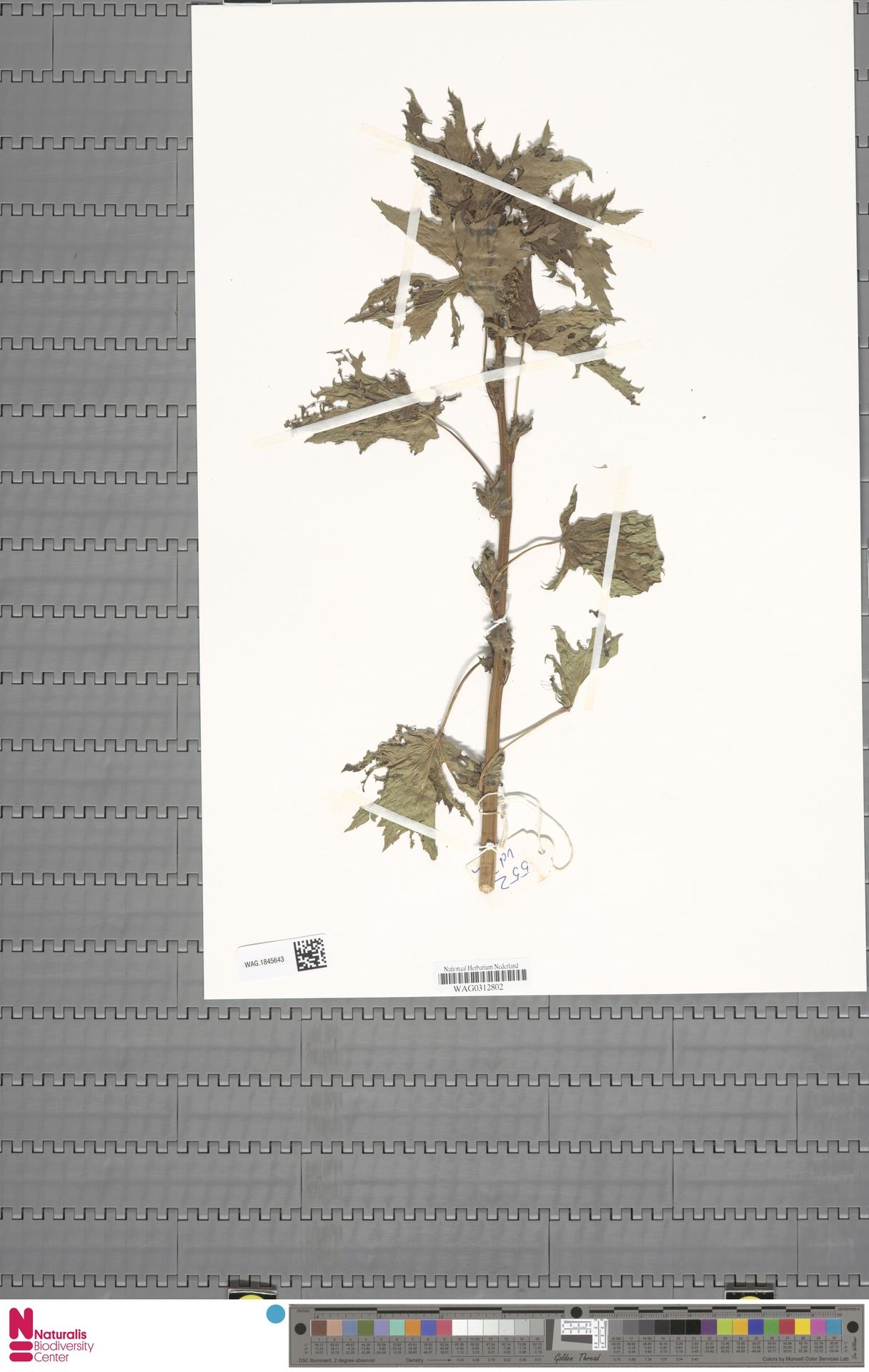WAG.1845643 | Corchorus olitorius L.