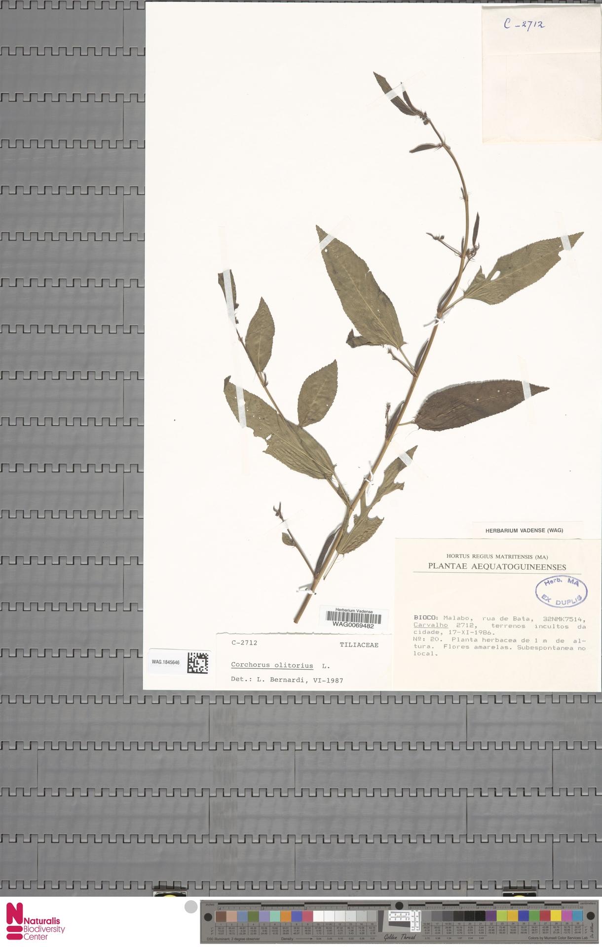 WAG.1845646 | Corchorus olitorius L.