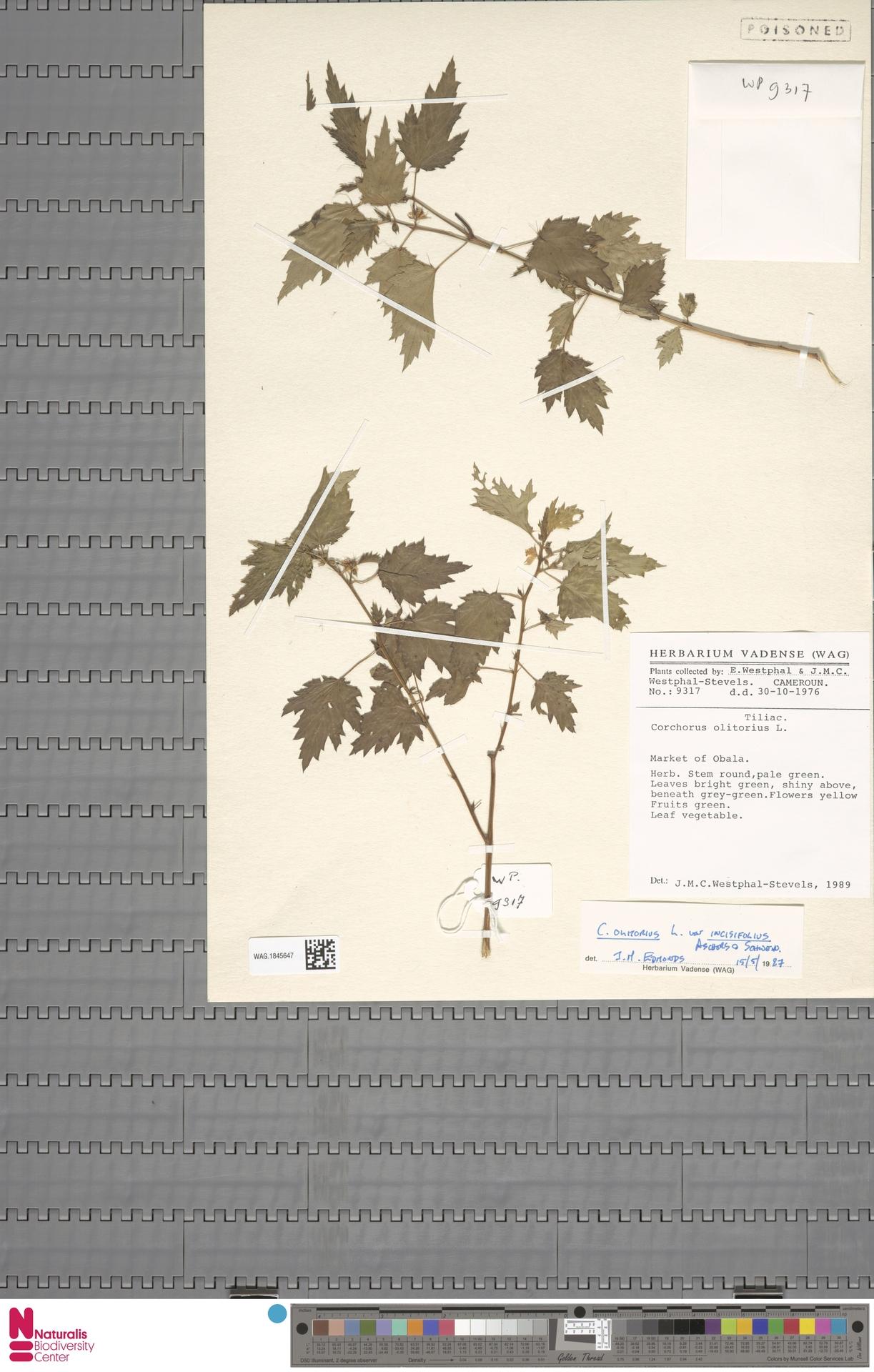 WAG.1845647 | Corchorus olitorius L.
