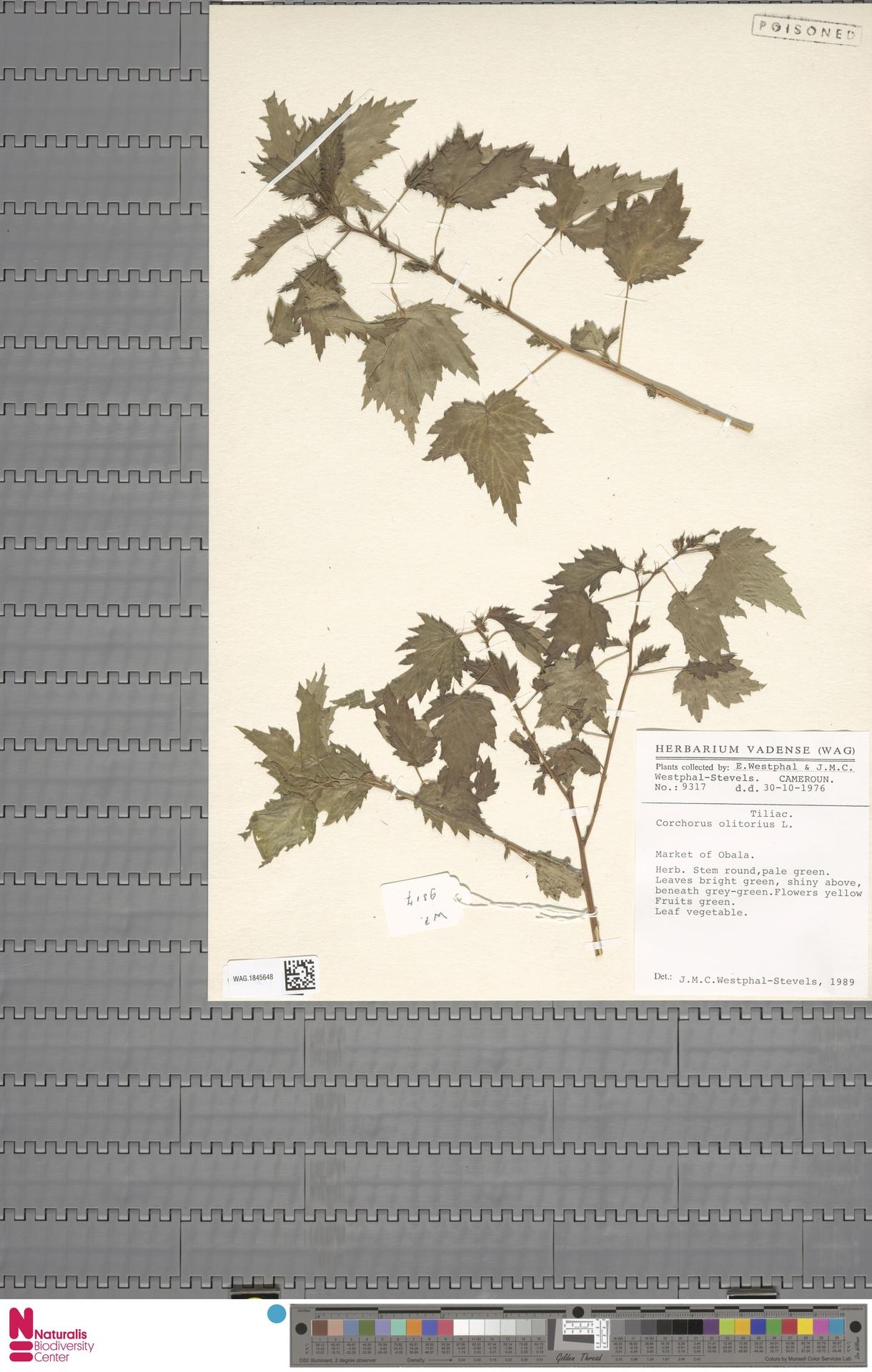 WAG.1845648 | Corchorus olitorius L.