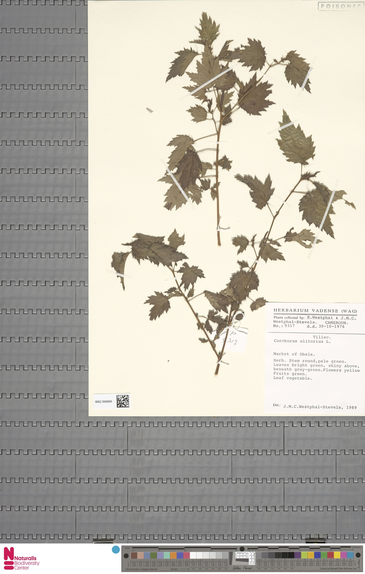 WAG.1845649 | Corchorus olitorius L.