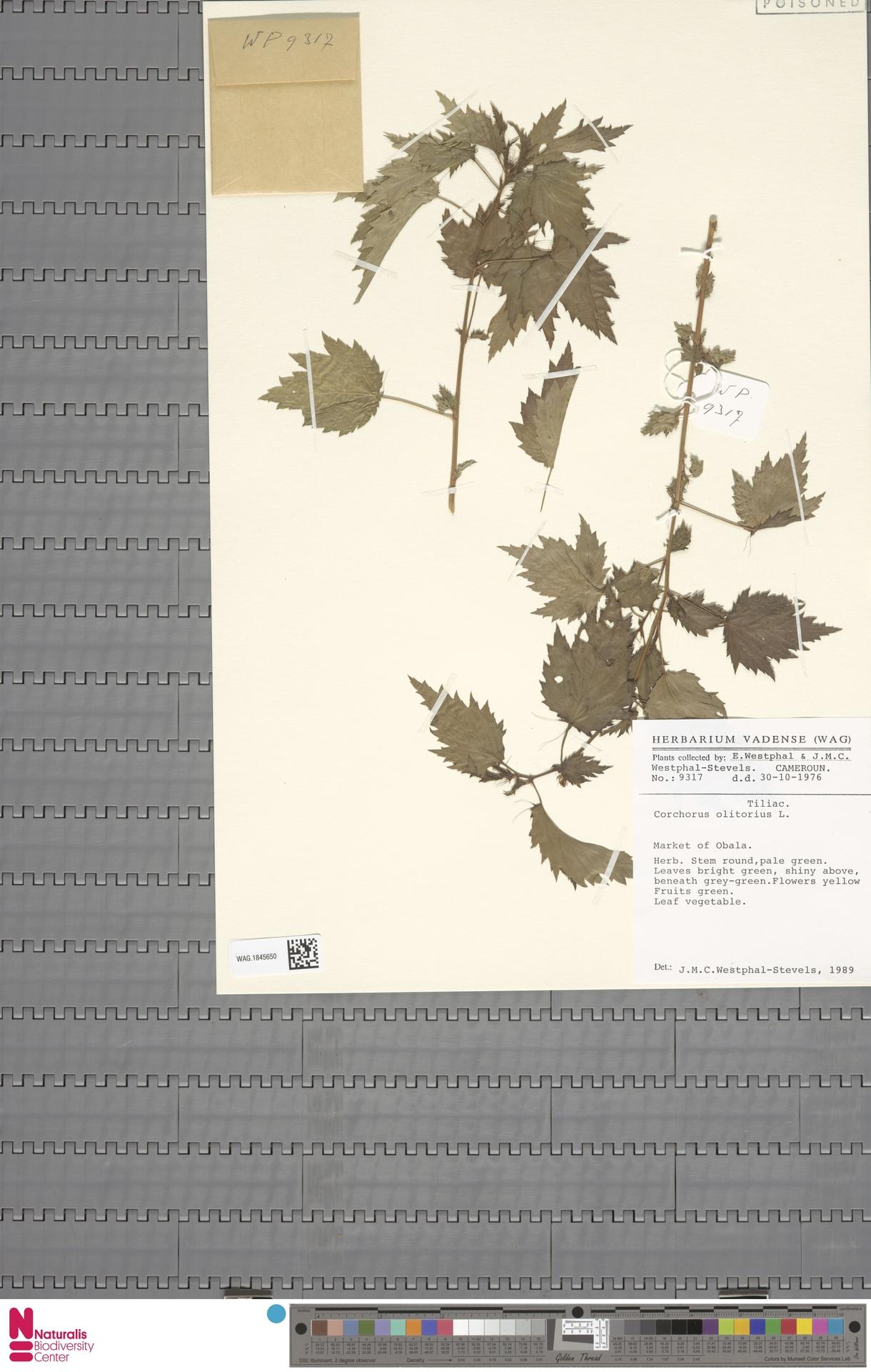 WAG.1845650 | Corchorus olitorius L.