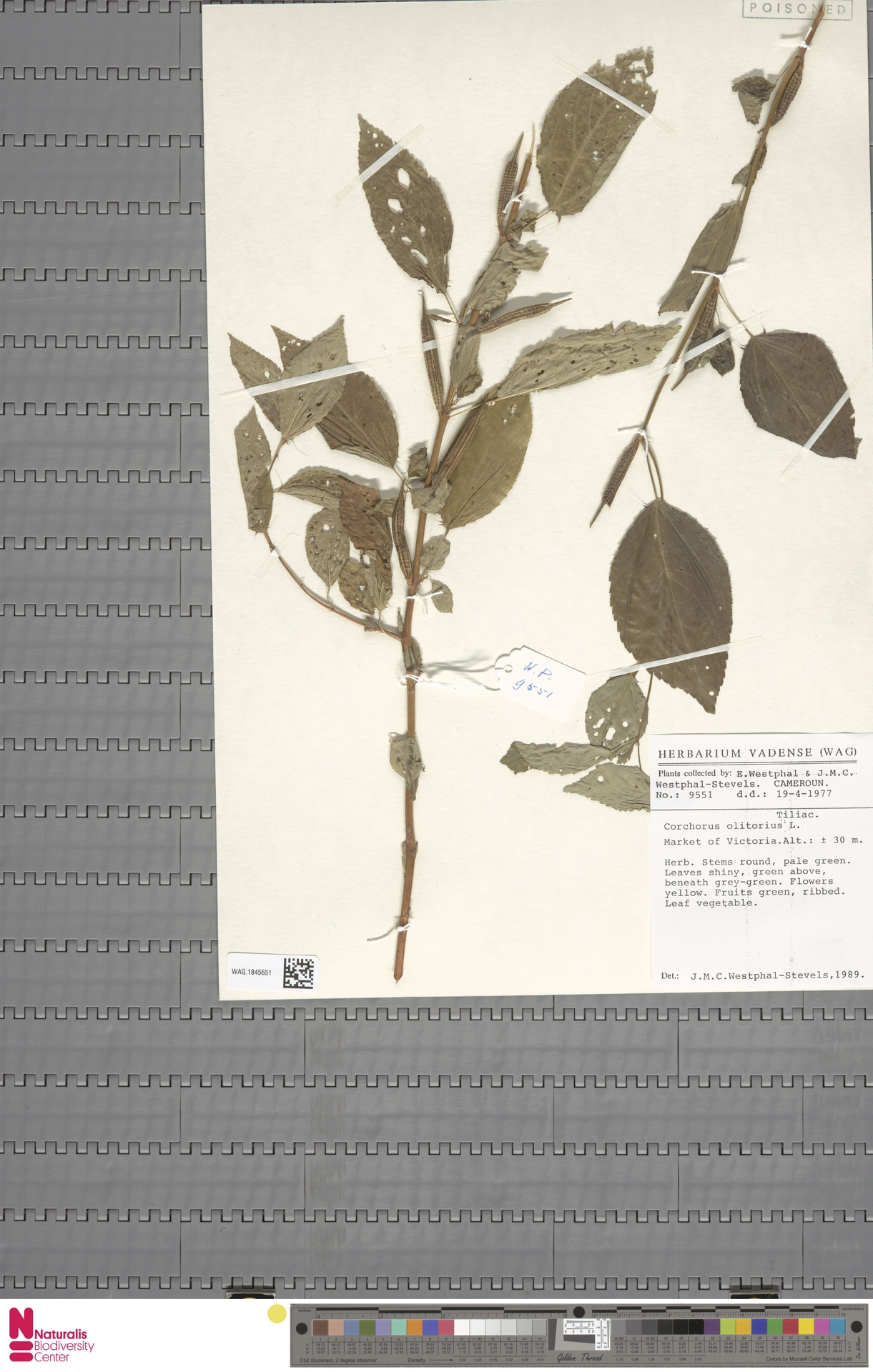 WAG.1845651 | Corchorus olitorius L.