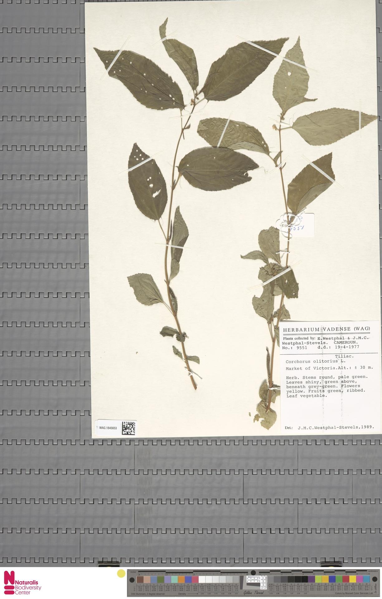 WAG.1845653 | Corchorus olitorius L.