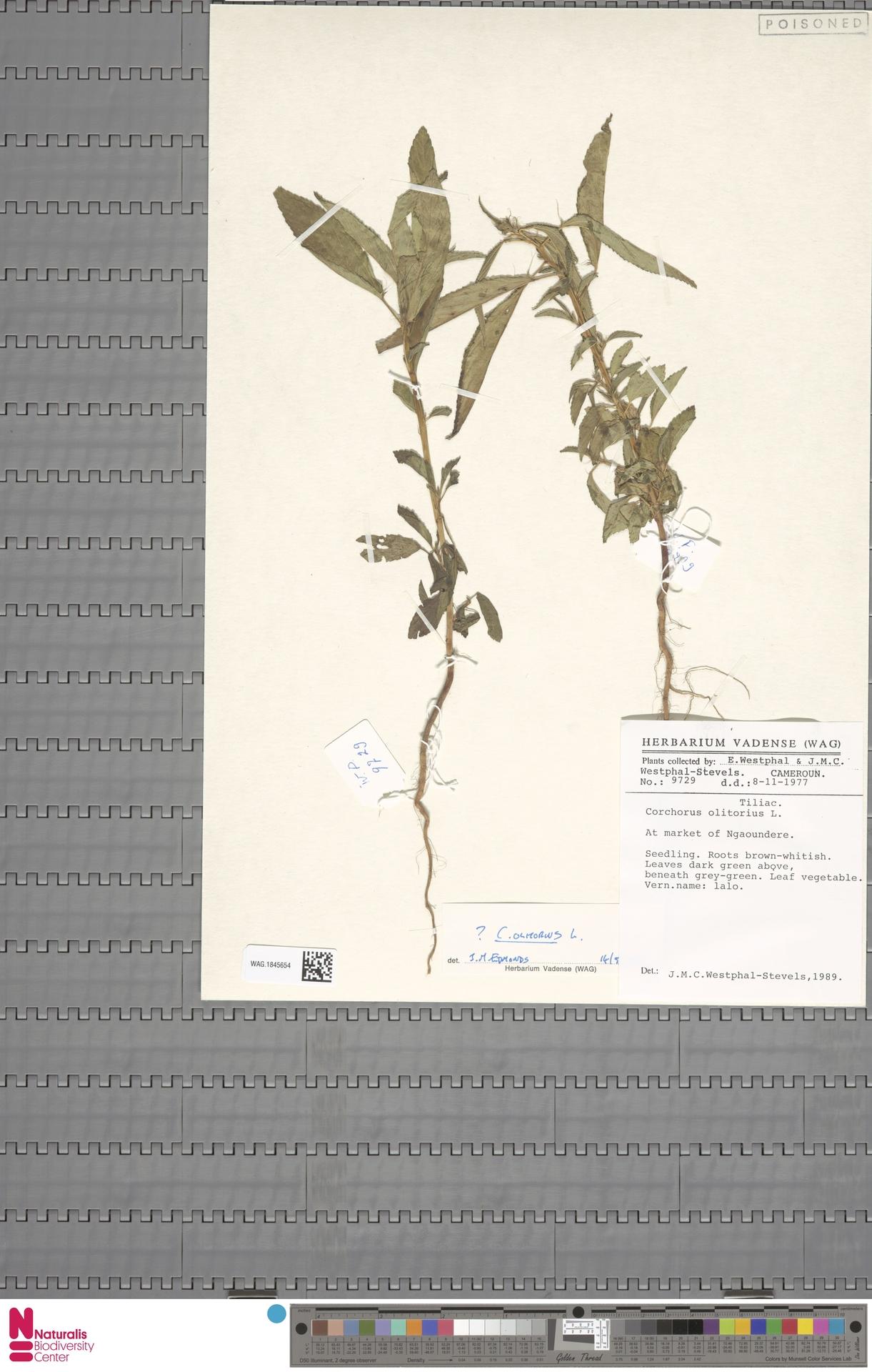 WAG.1845654 | Corchorus olitorius L.