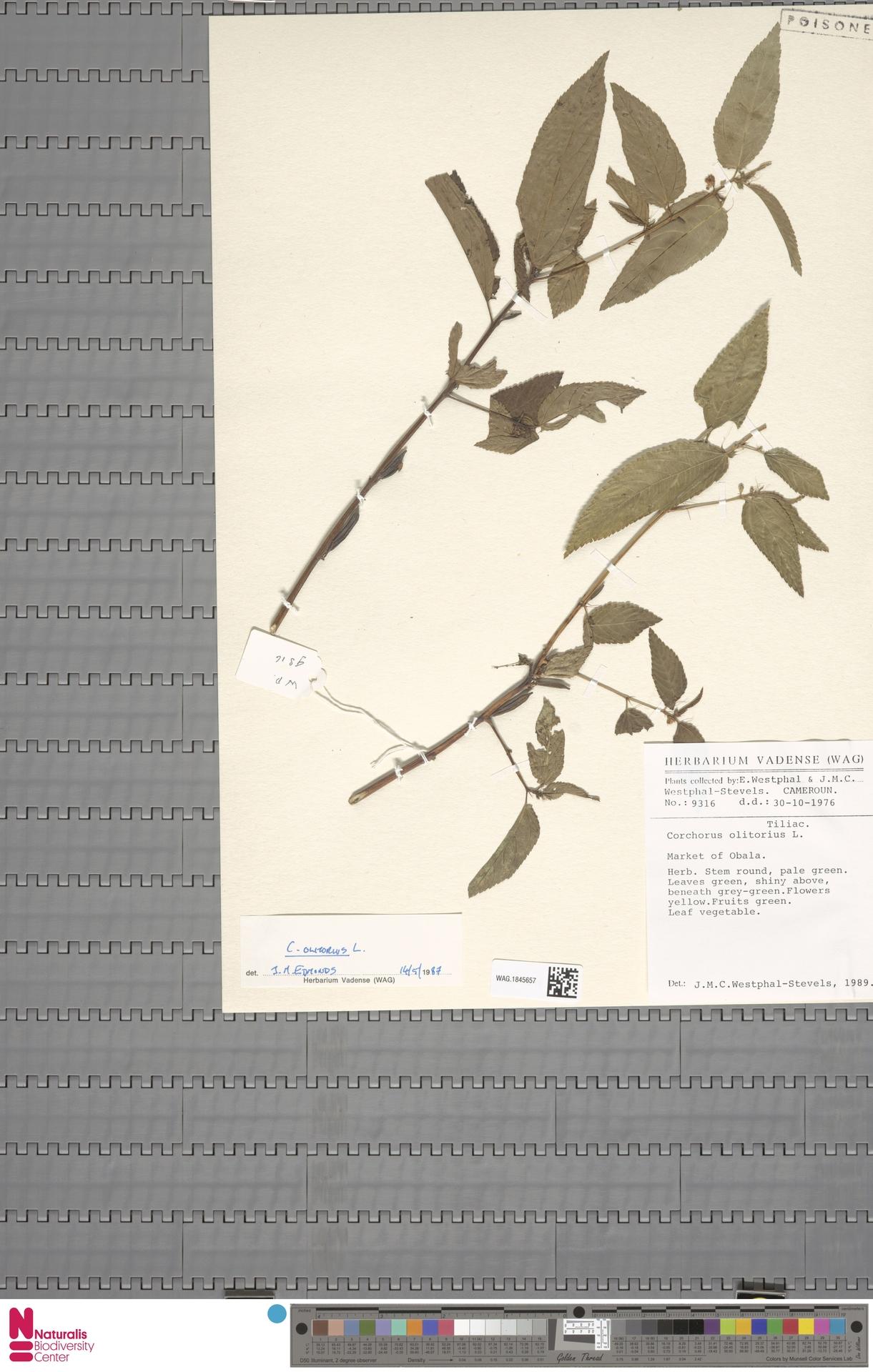 WAG.1845657   Corchorus olitorius L.