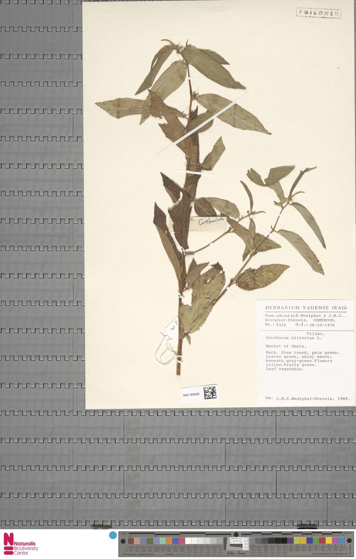 WAG.1845658 | Corchorus olitorius L.