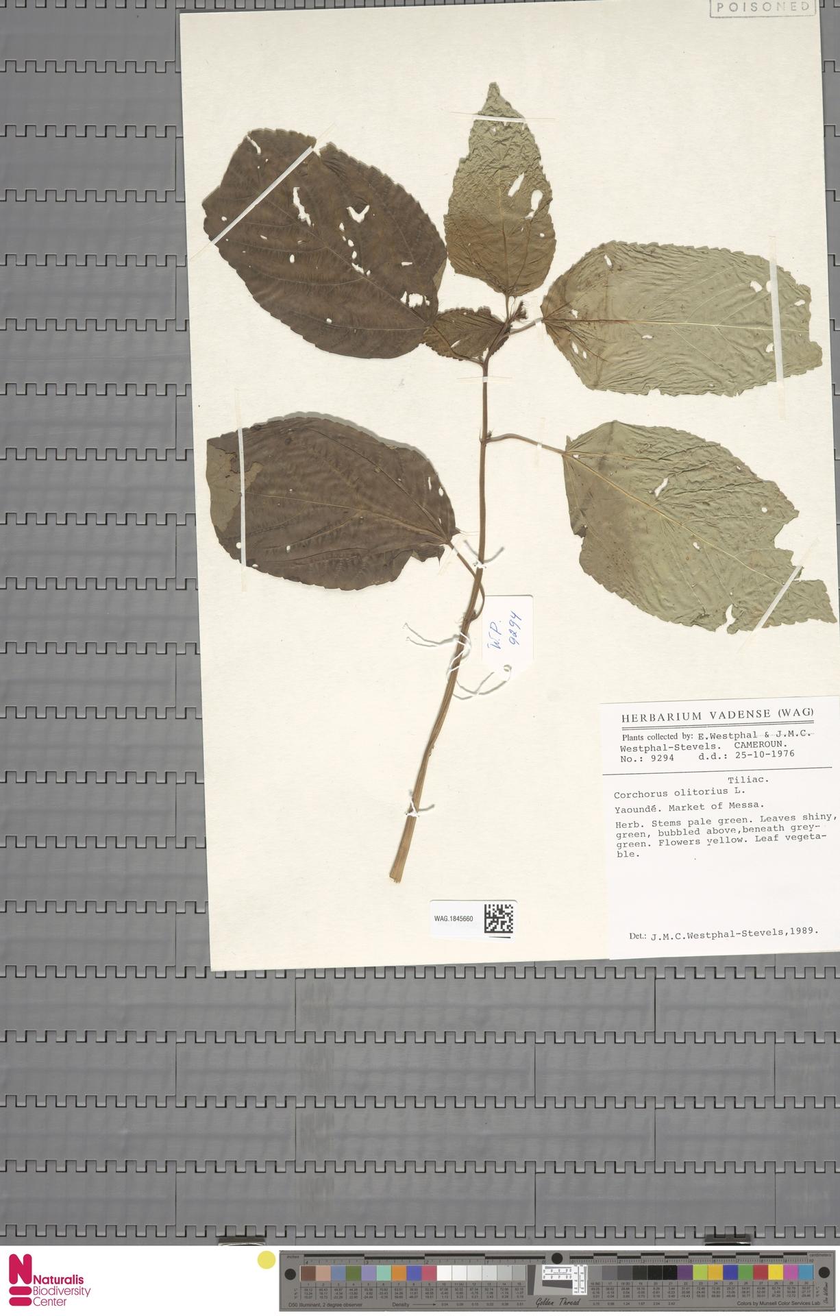 WAG.1845660   Corchorus olitorius L.