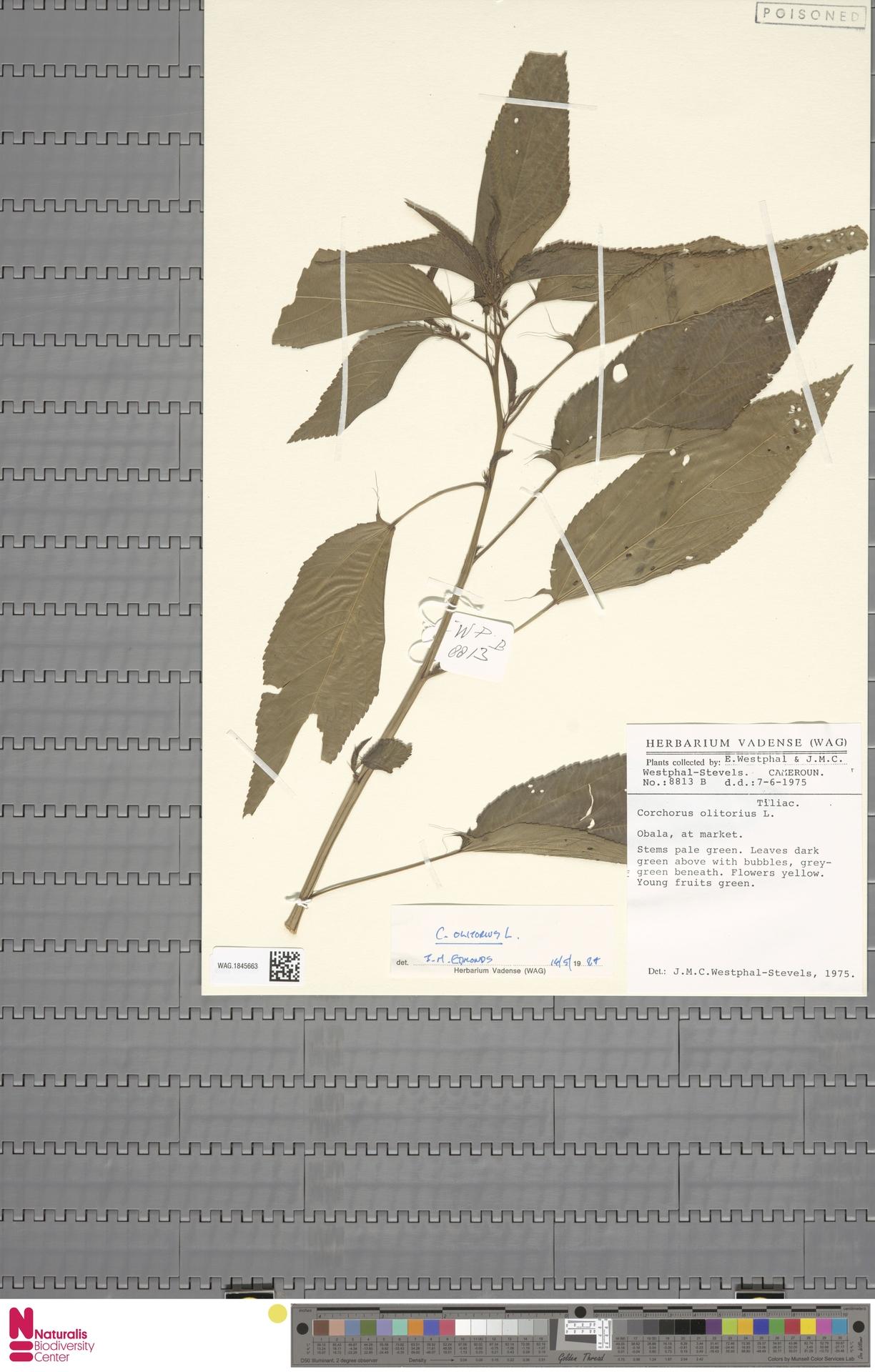 WAG.1845663 | Corchorus olitorius L.
