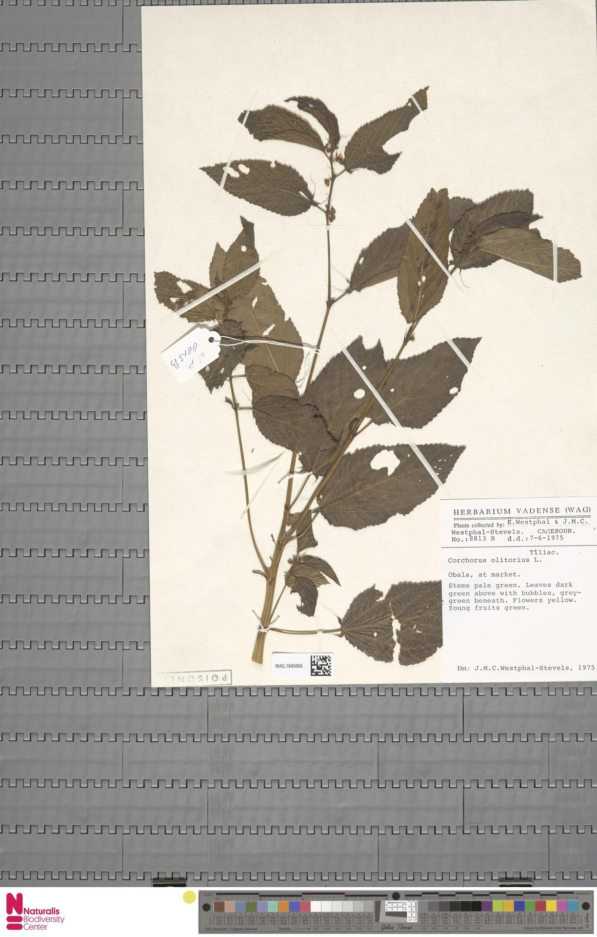 WAG.1845665 | Corchorus olitorius L.