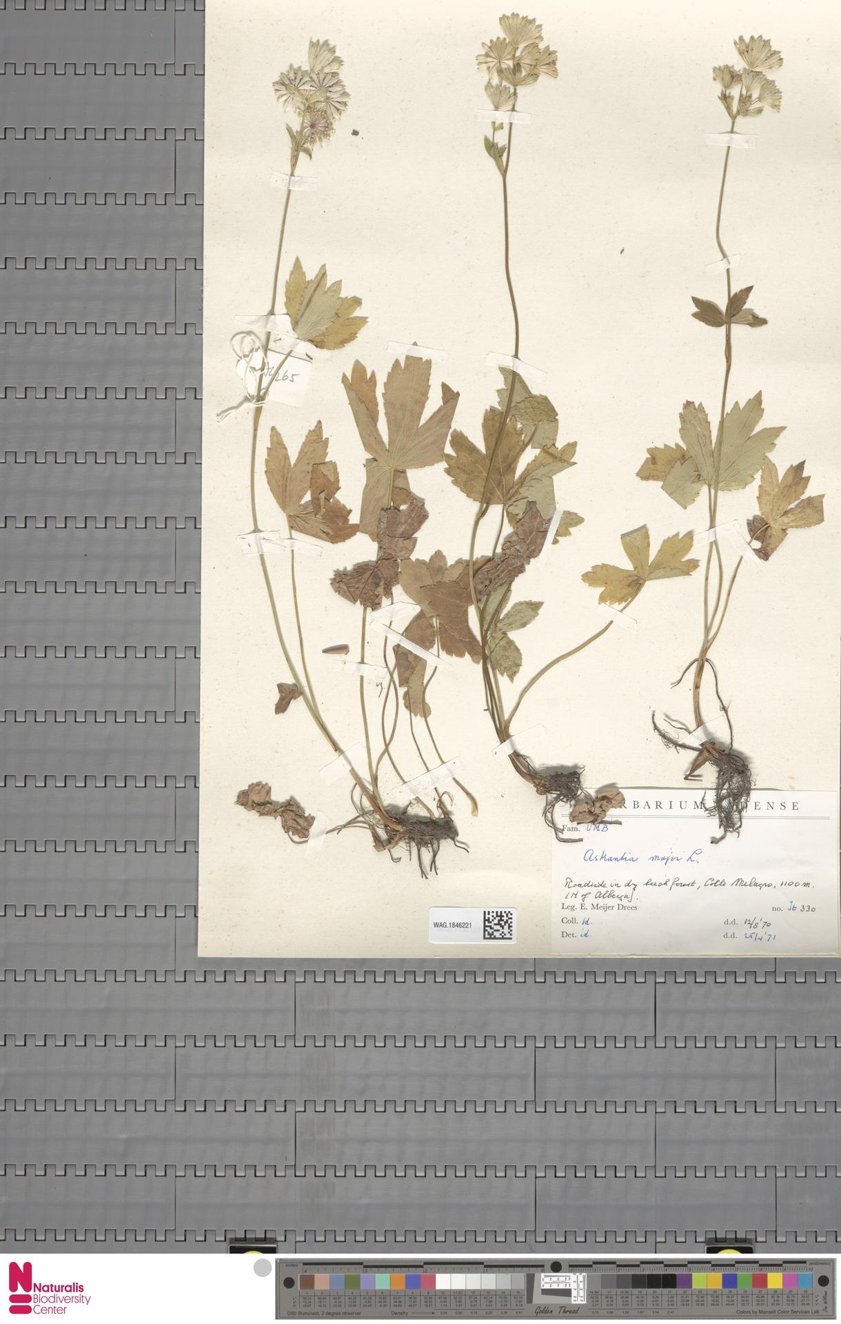 WAG.1846221 | Astrantia major L.