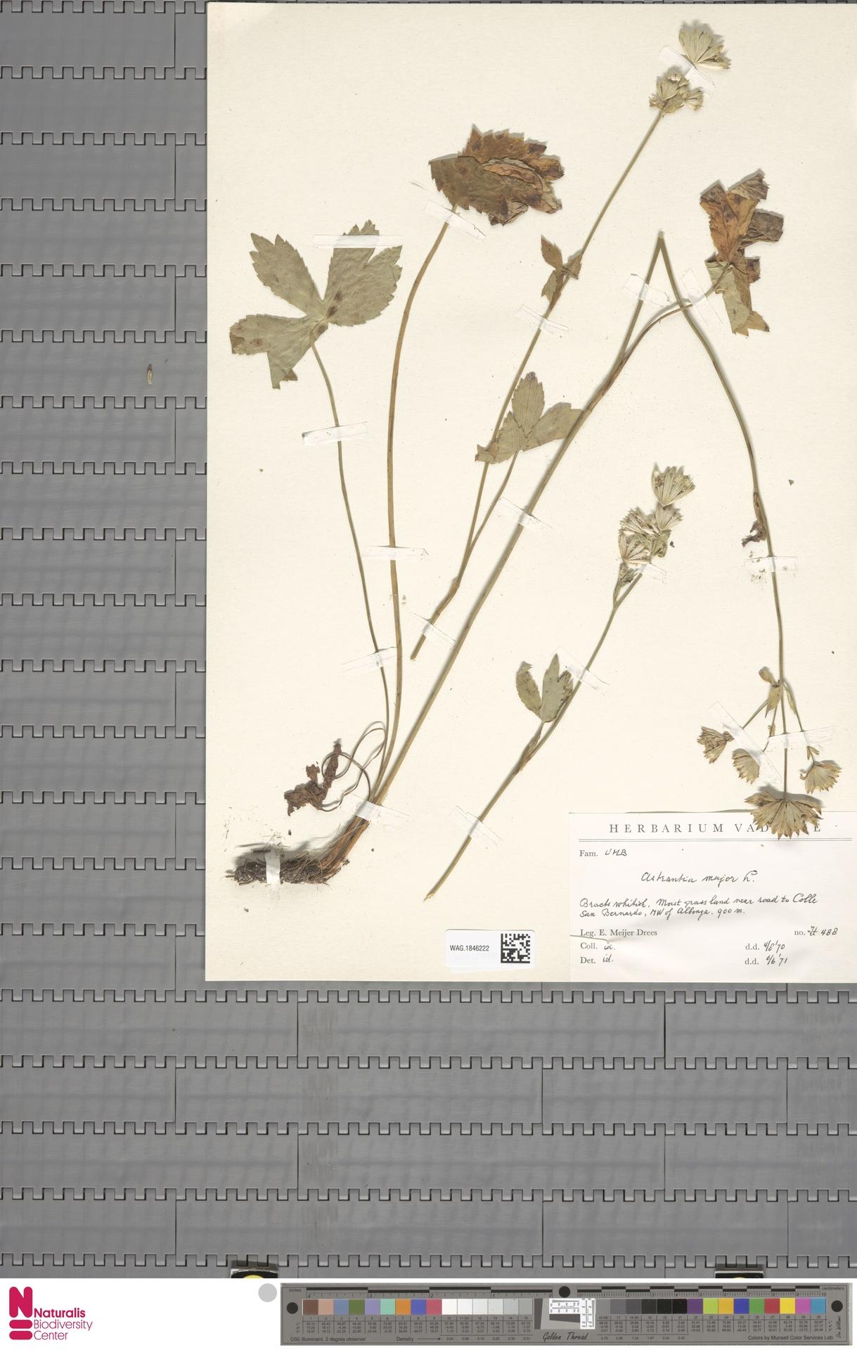 WAG.1846222 | Astrantia major L.
