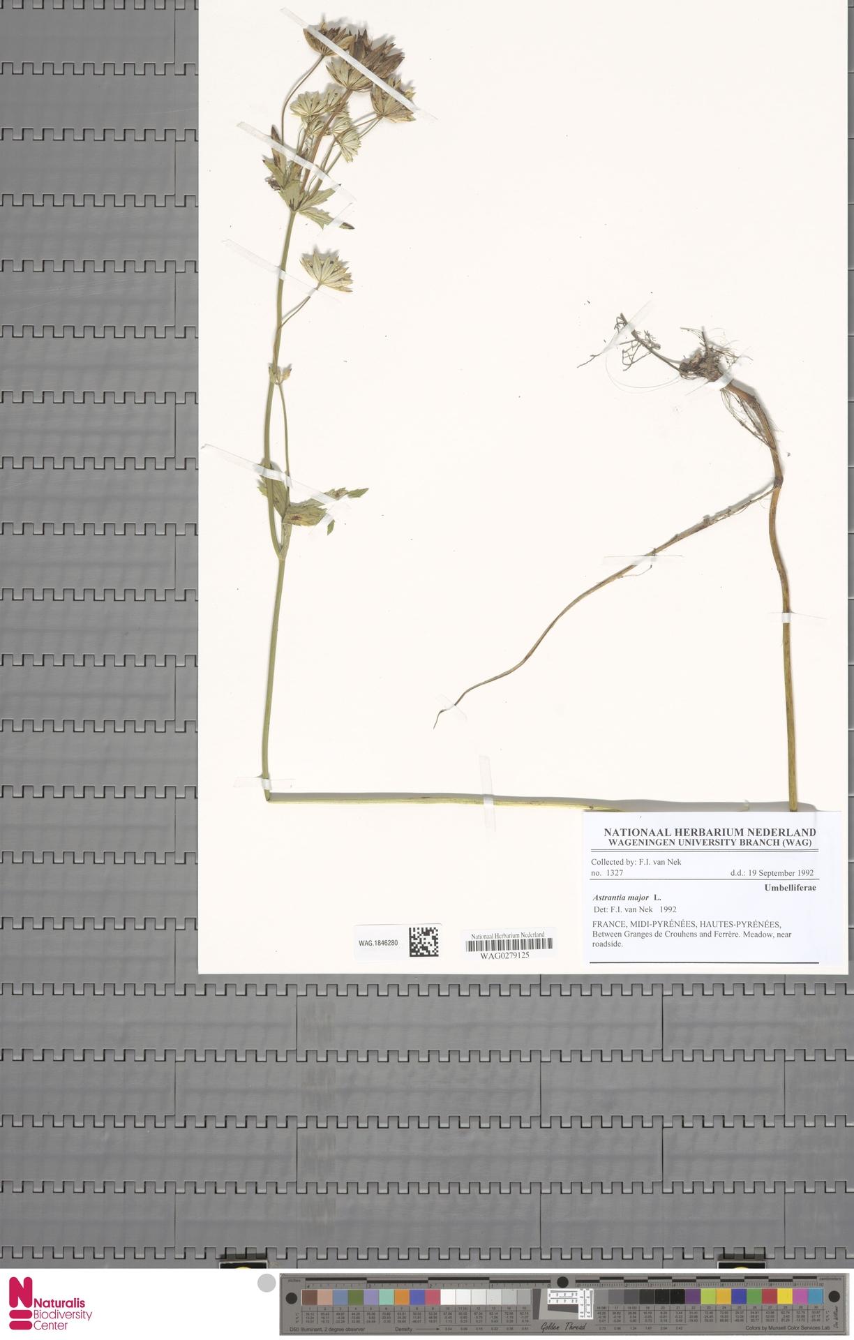 WAG.1846280 | Astrantia major L.