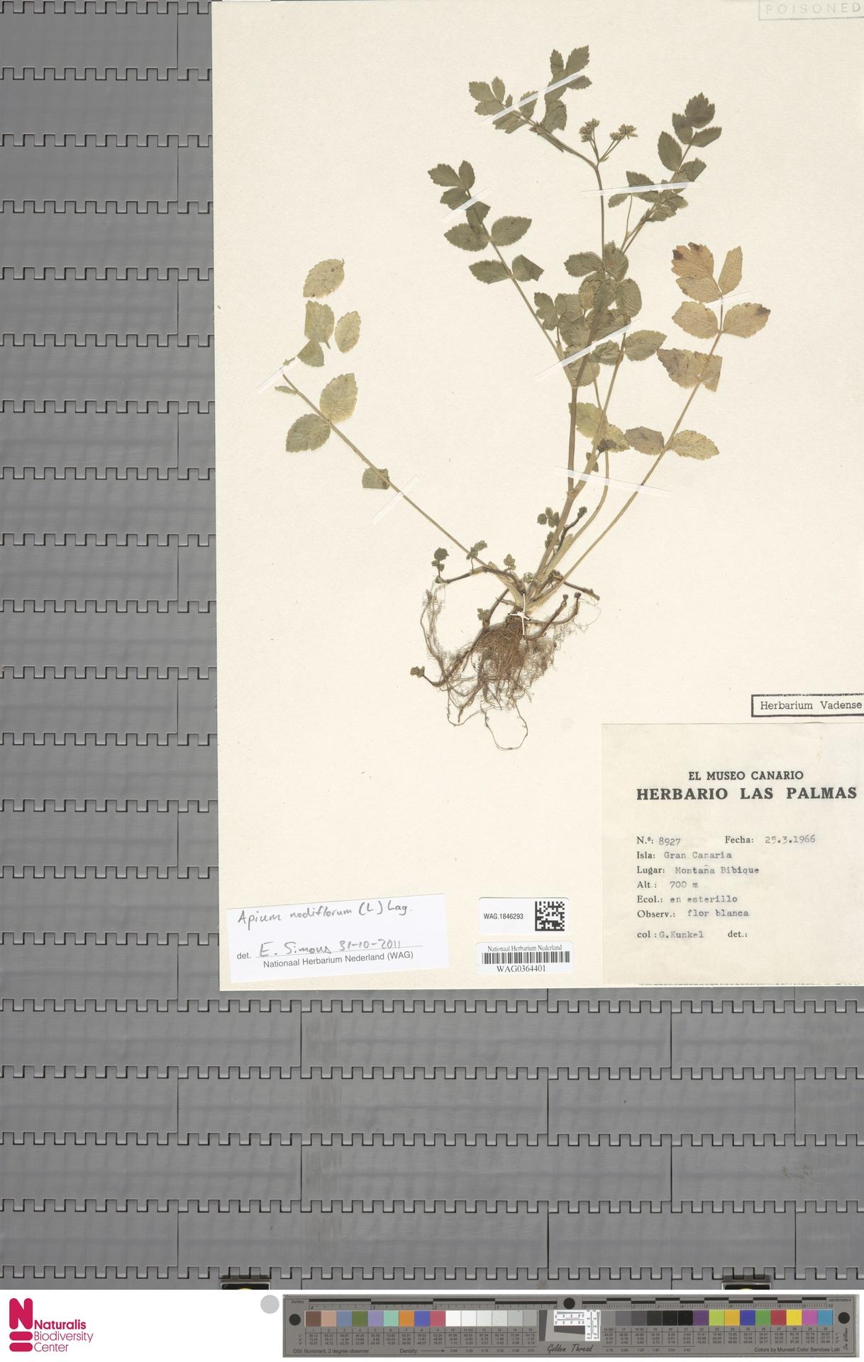 WAG.1846293 | Apium nodiflorum (L.) Lag.