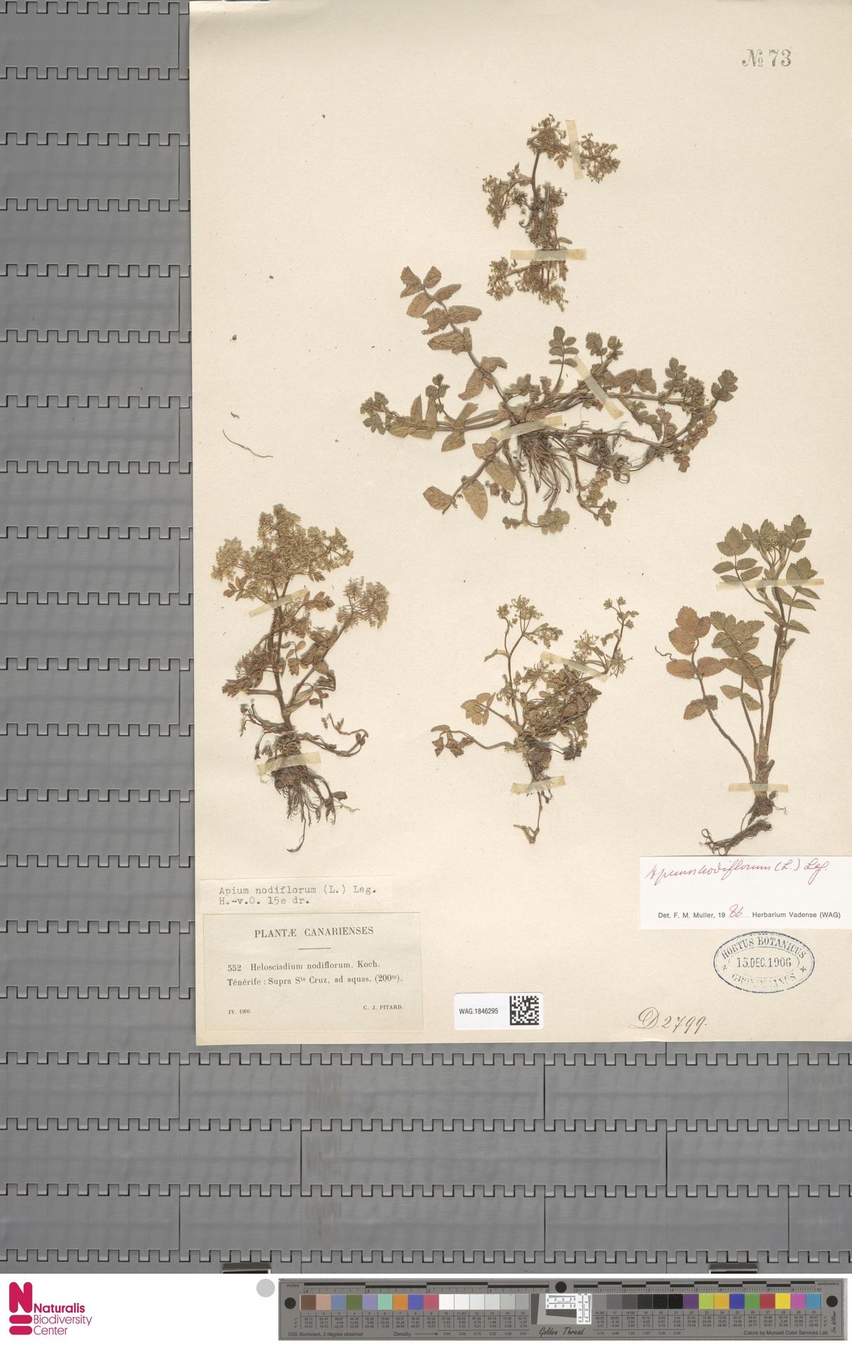 WAG.1846295   Apium nodiflorum (L.) Lag.