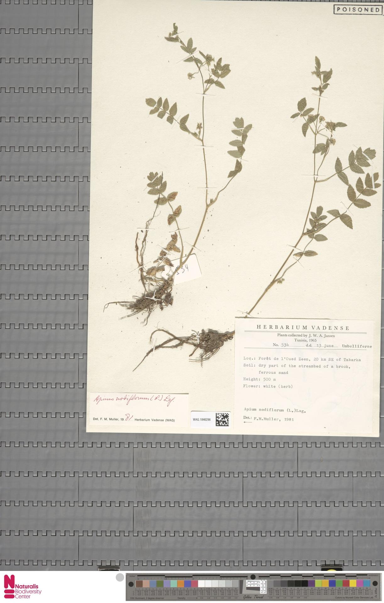 WAG.1846296 | Apium nodiflorum (L.) Lag.