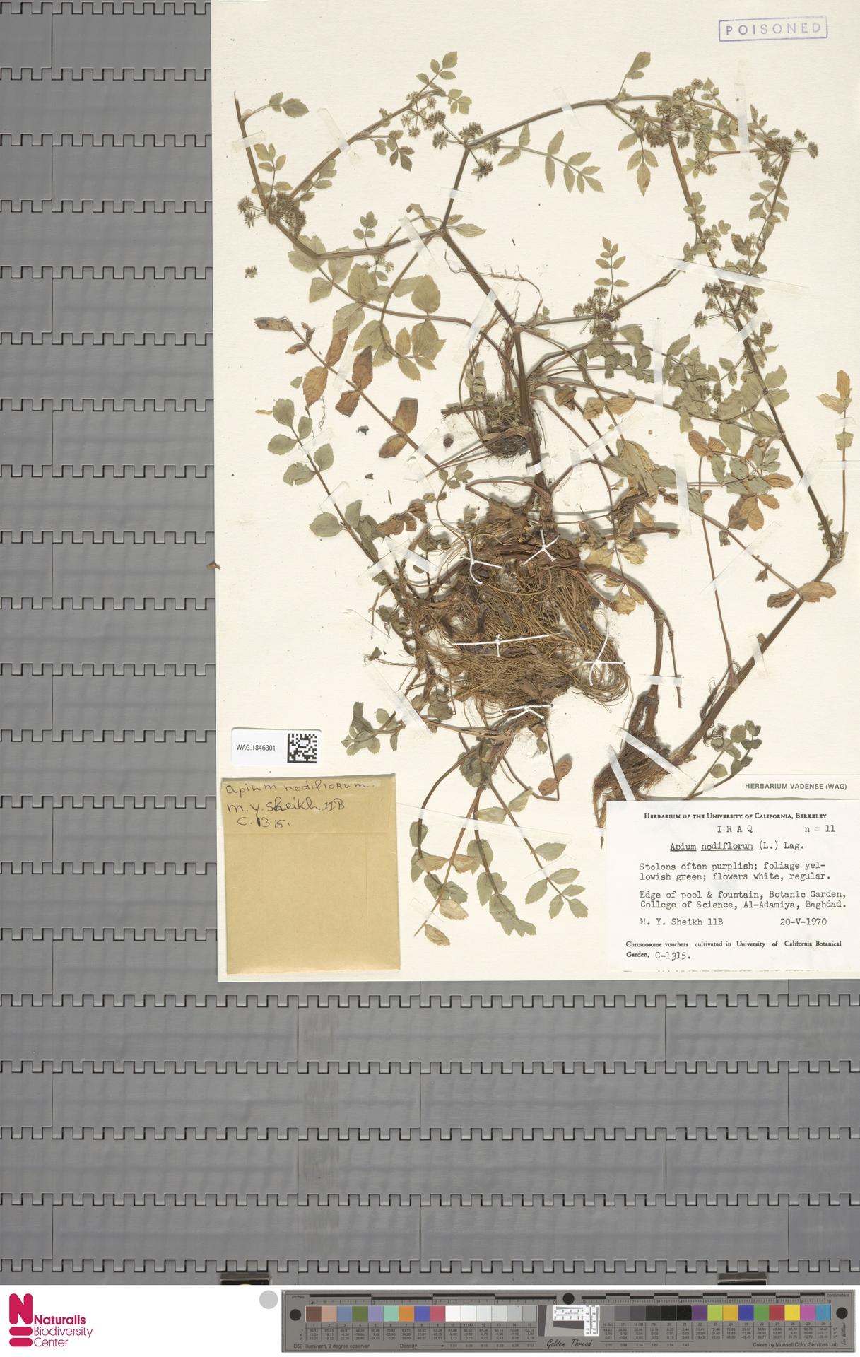 WAG.1846301 | Apium nodiflorum (L.) Lag.