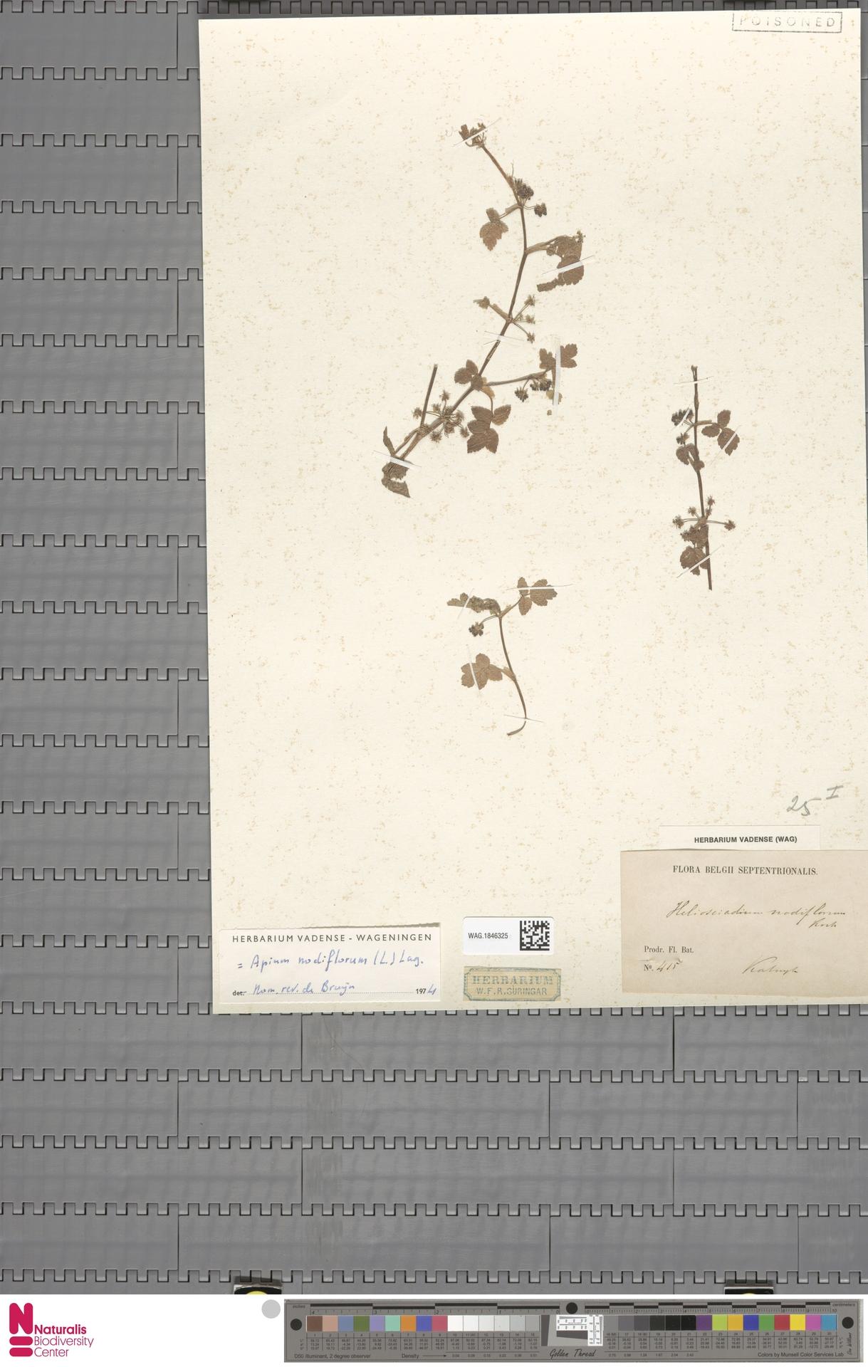 WAG.1846325 | Apium nodiflorum (L.) Lag.