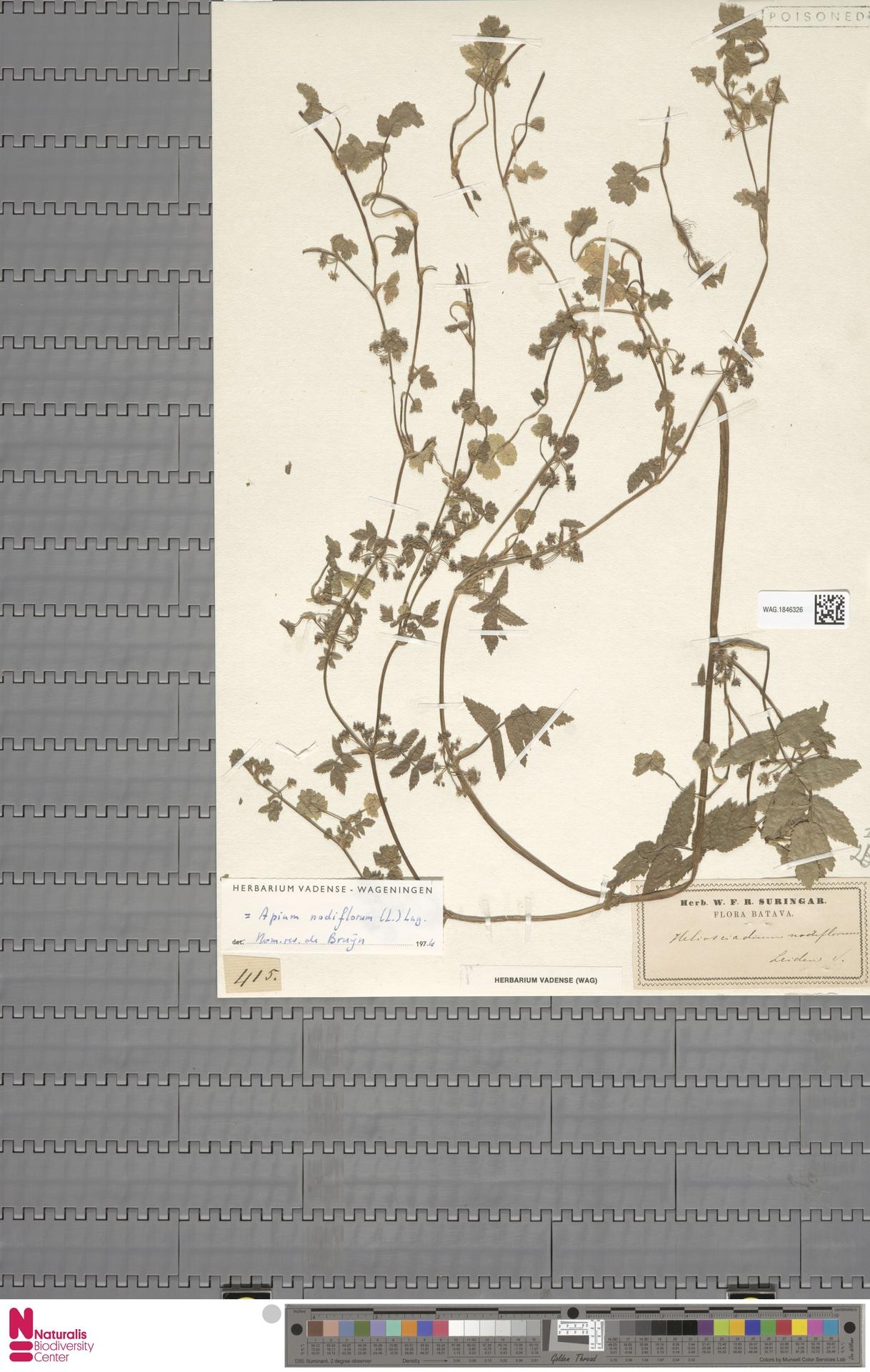 WAG.1846326 | Apium nodiflorum (L.) Lag.