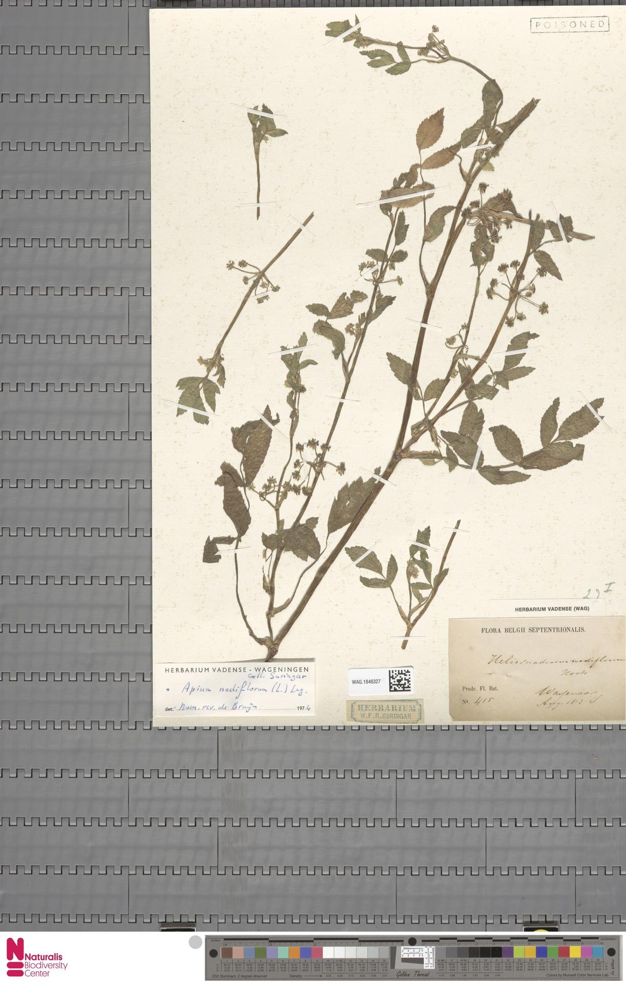 WAG.1846327 | Apium nodiflorum (L.) Lag.