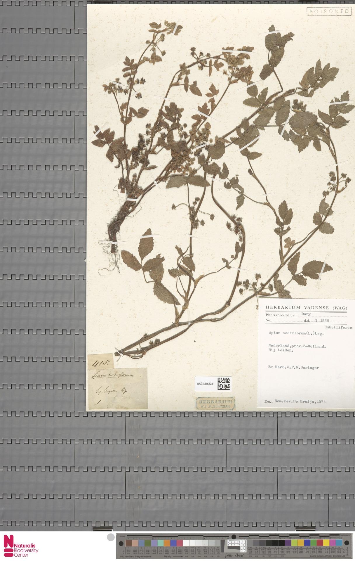 WAG.1846328 | Apium nodiflorum (L.) Lag.