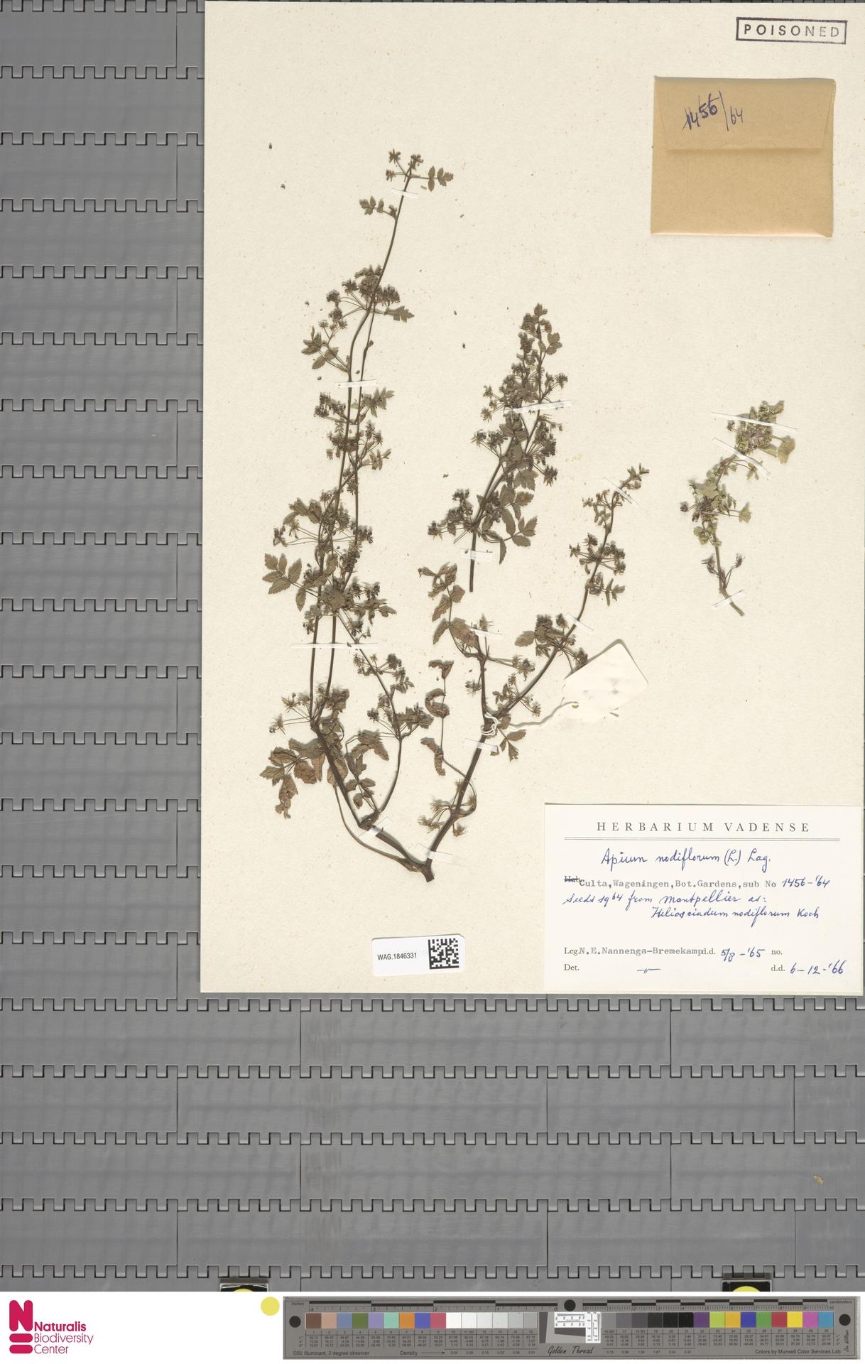 WAG.1846331 | Apium nodiflorum (L.) Lag.