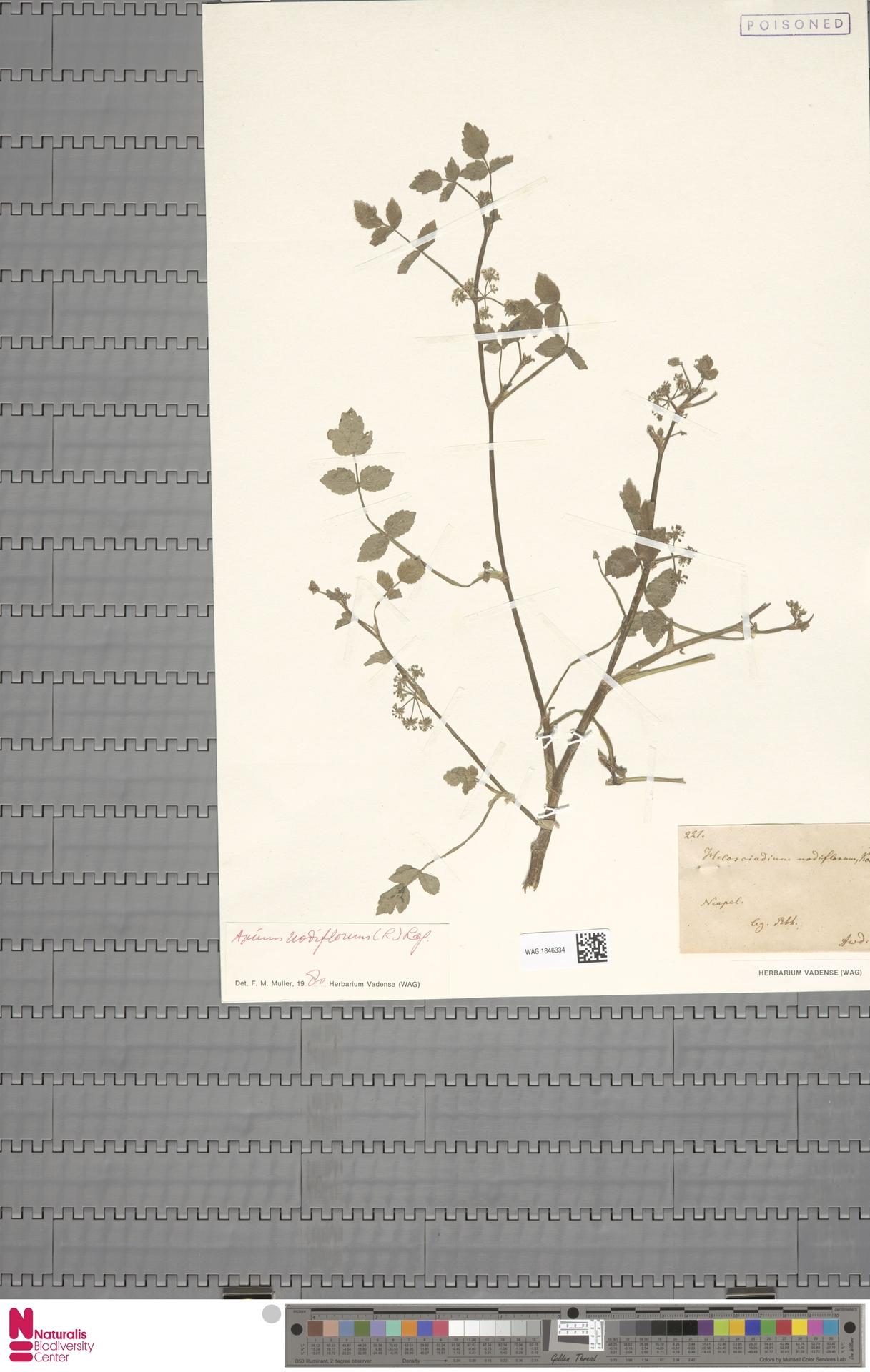 WAG.1846334 | Apium nodiflorum (L.) Lag.