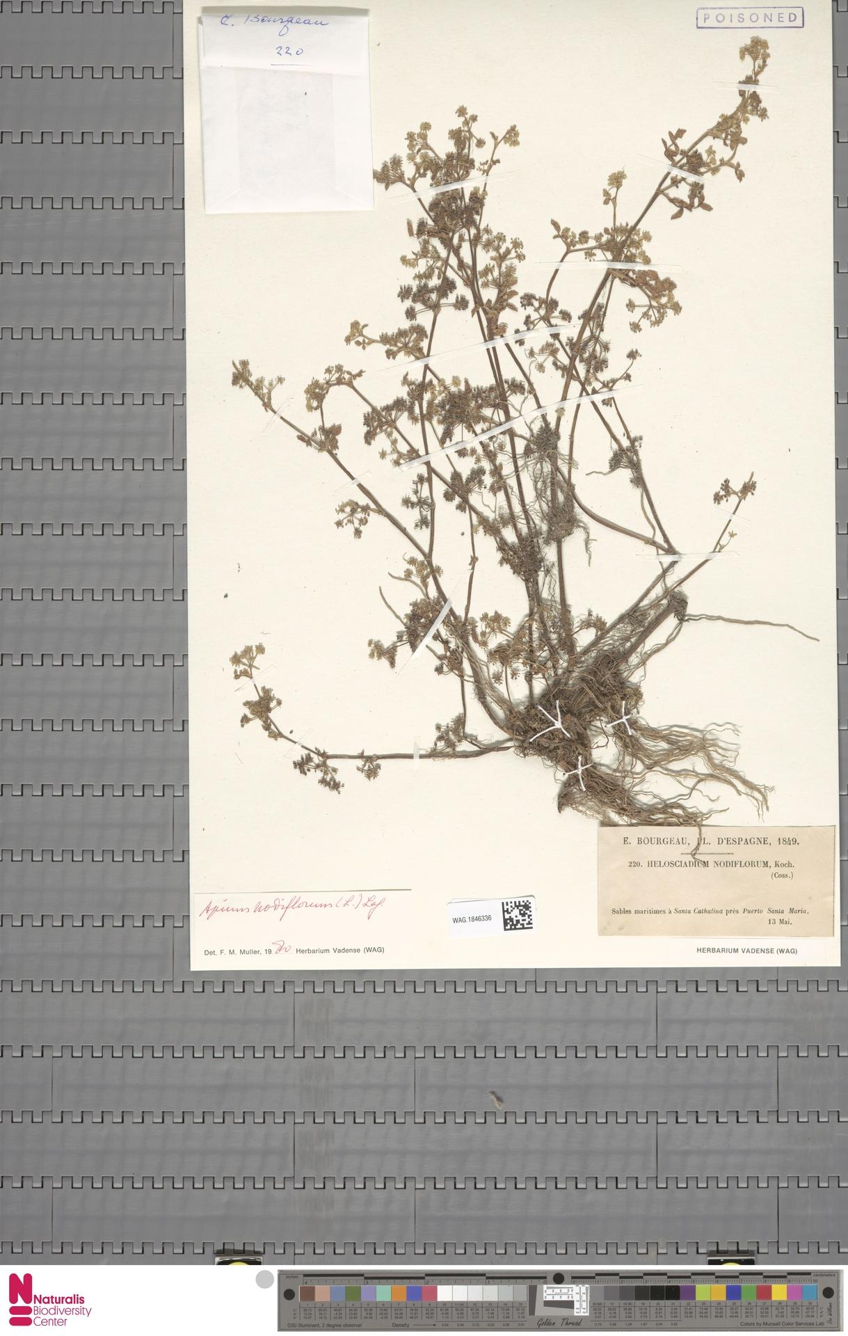 WAG.1846336 | Apium nodiflorum (L.) Lag.