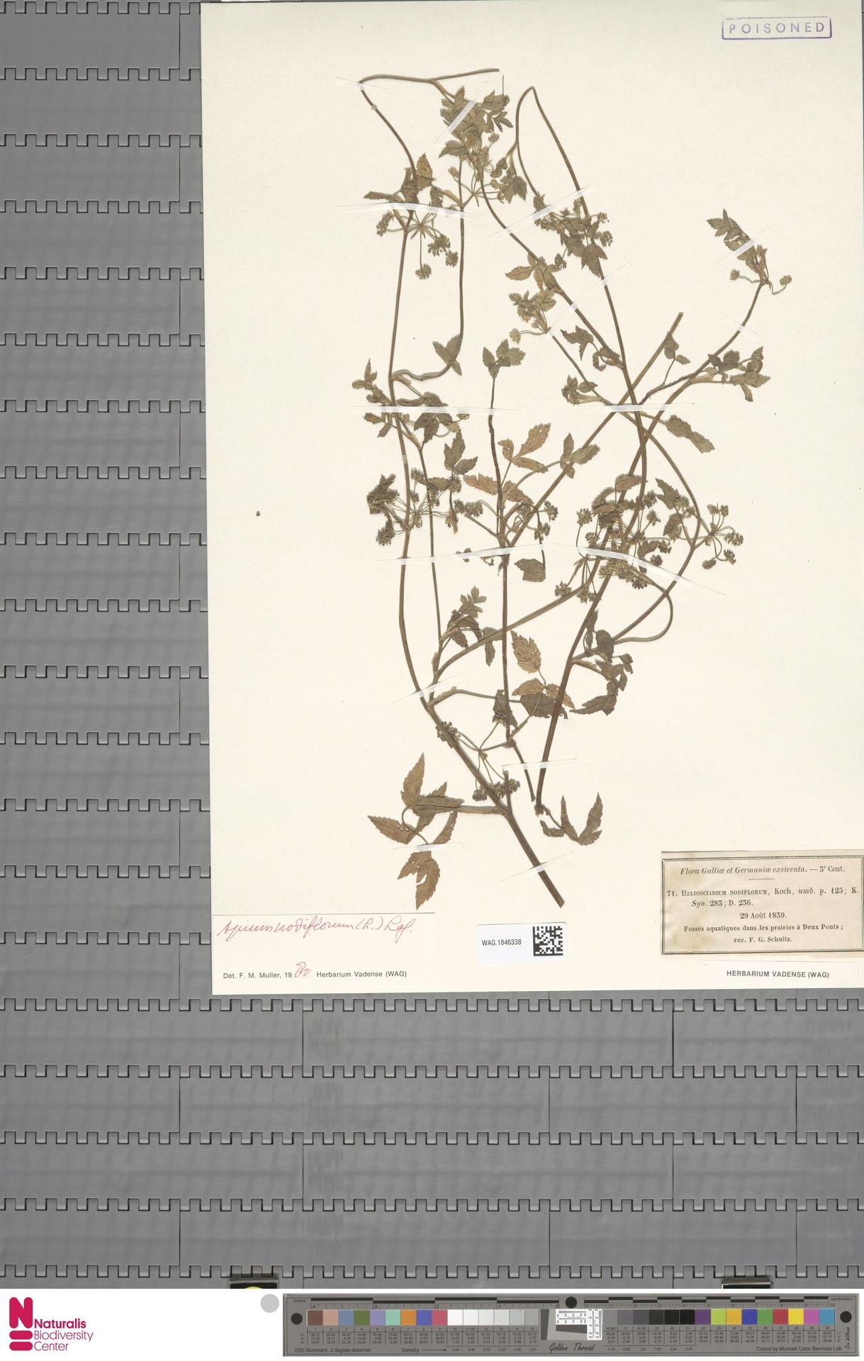 WAG.1846338 | Apium nodiflorum (L.) Lag.