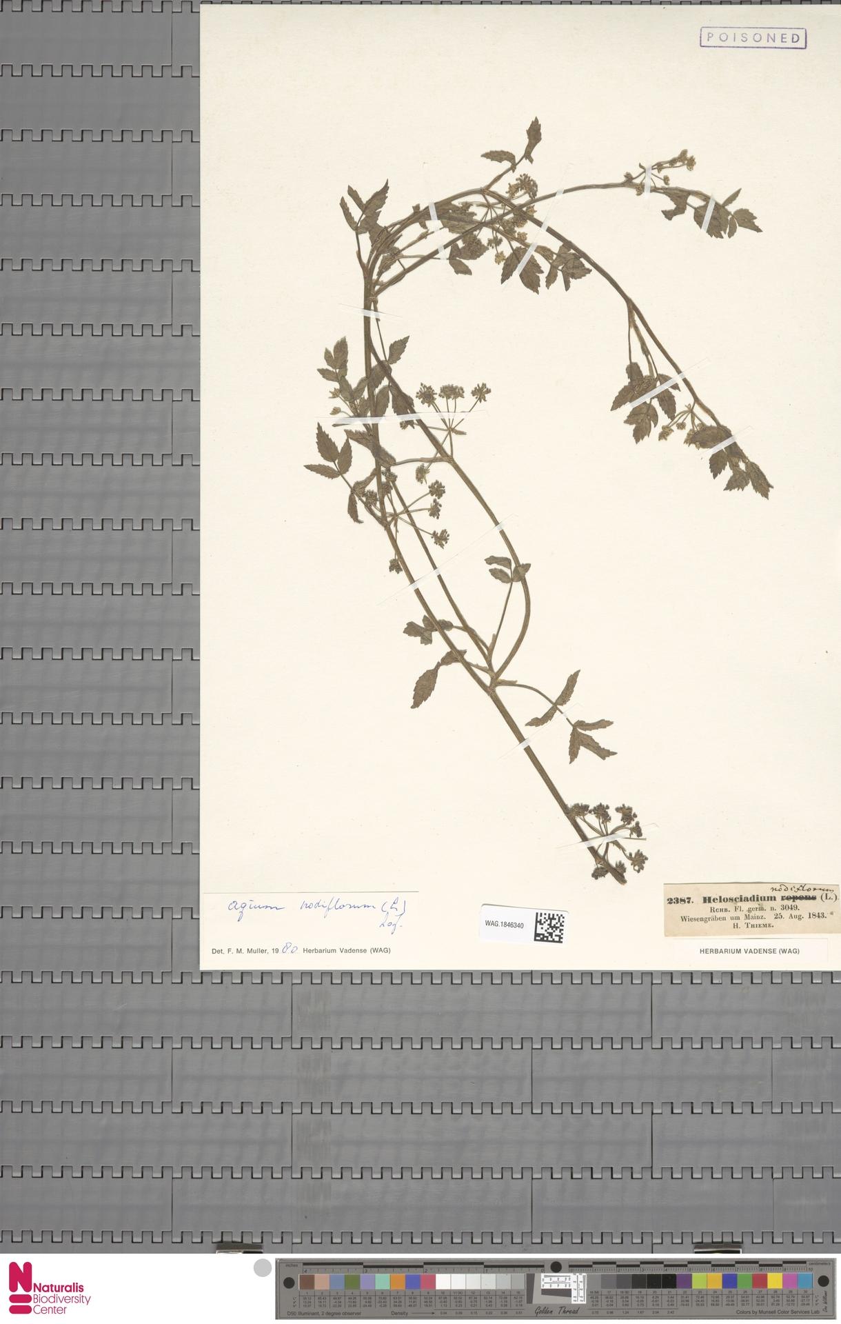 WAG.1846340 | Apium nodiflorum (L.) Lag.