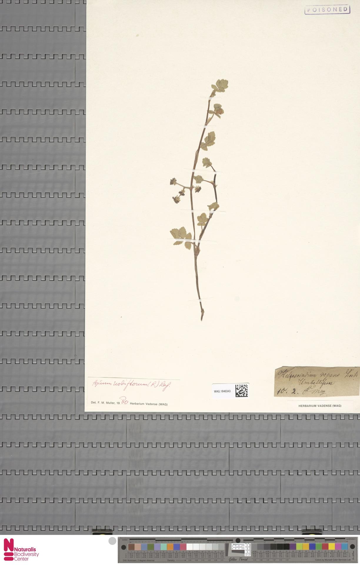 WAG.1846343 | Apium nodiflorum (L.) Lag.