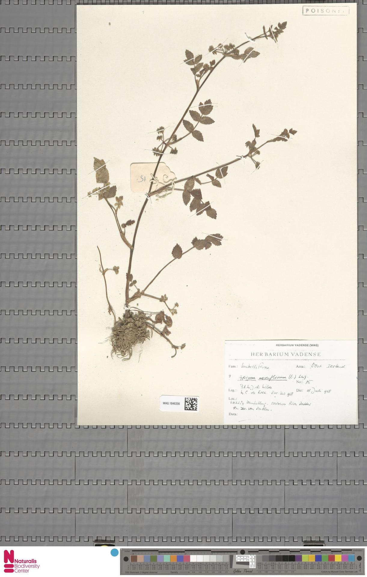 WAG.1846356 | Apium nodiflorum (L.) Lag.