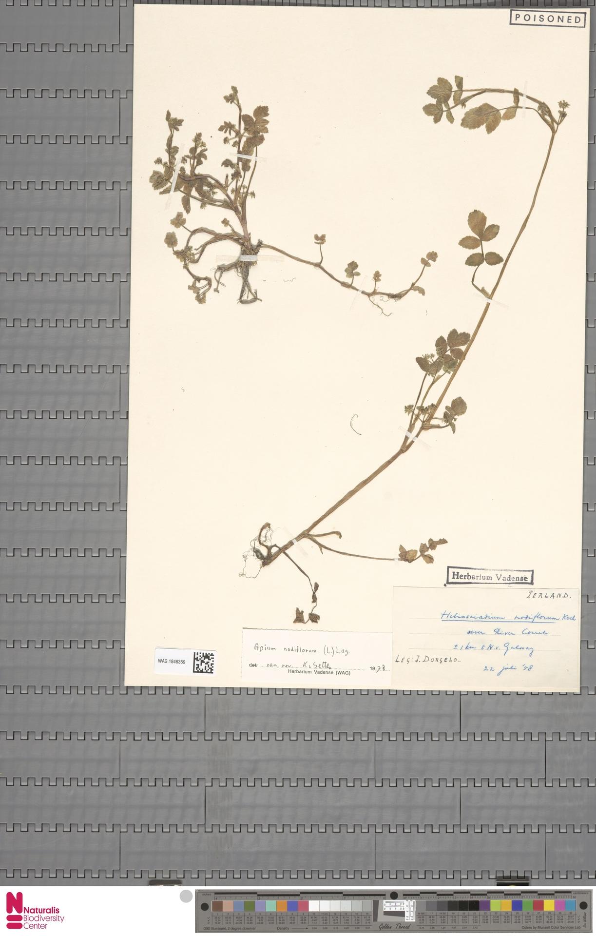 WAG.1846359   Apium nodiflorum (L.) Lag.