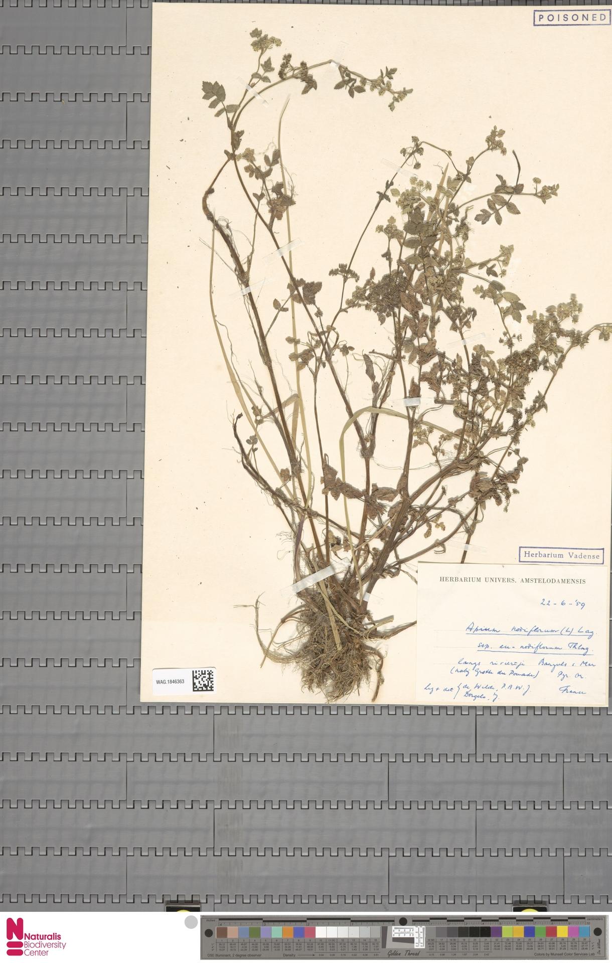 WAG.1846363   Apium nodiflorum (L.) Lag.