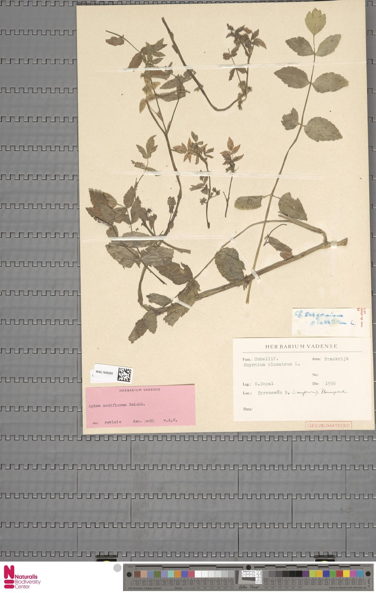 WAG.1846365 | Apium nodiflorum (L.) Lag.