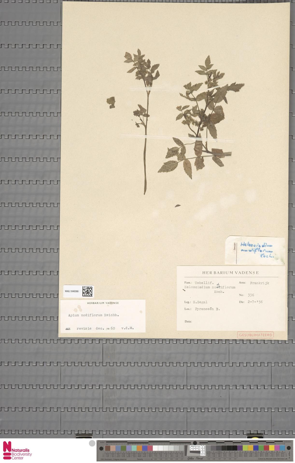 WAG.1846366 | Apium nodiflorum (L.) Lag.