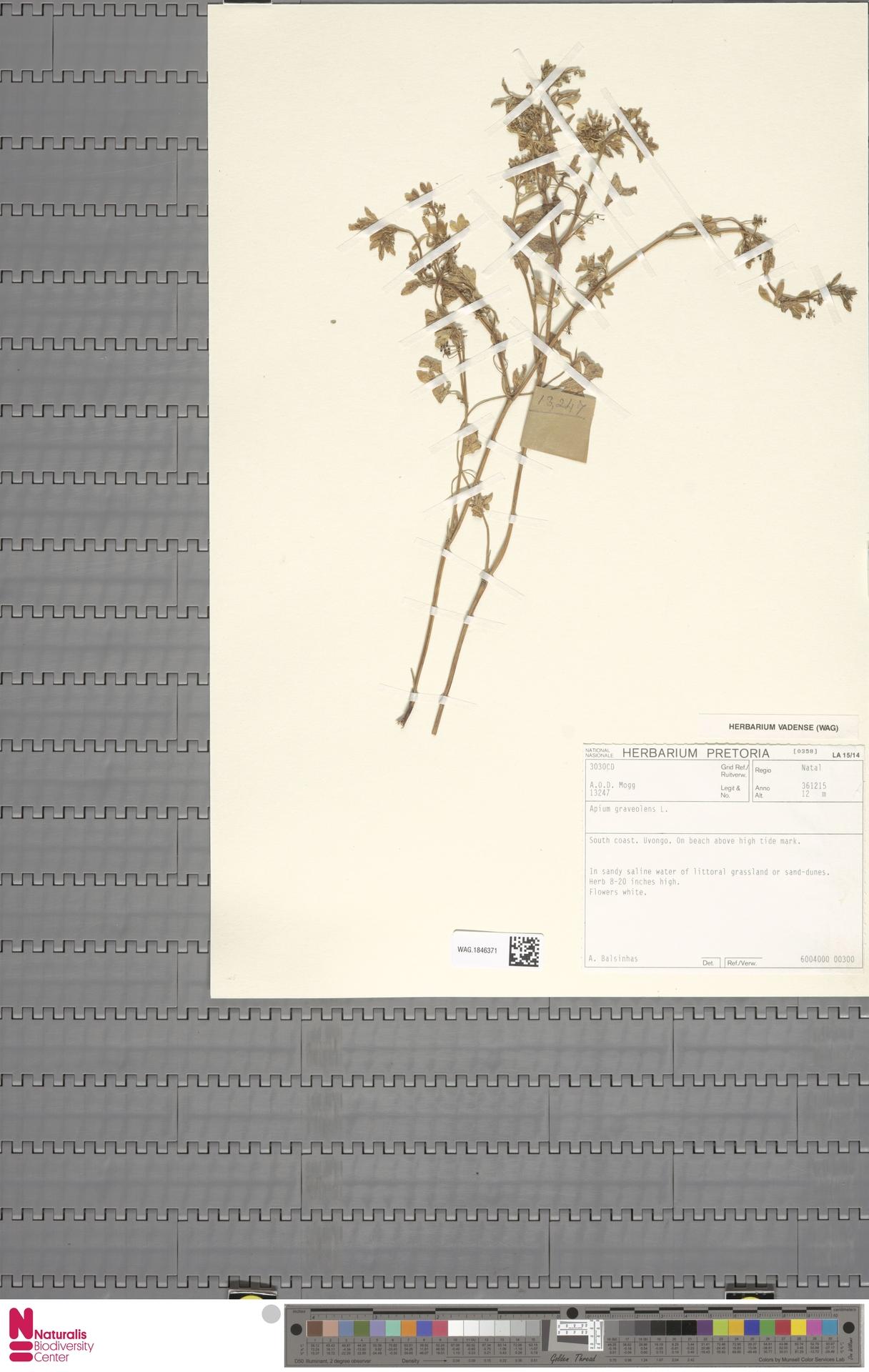 WAG.1846371 | Apium graveolens L.