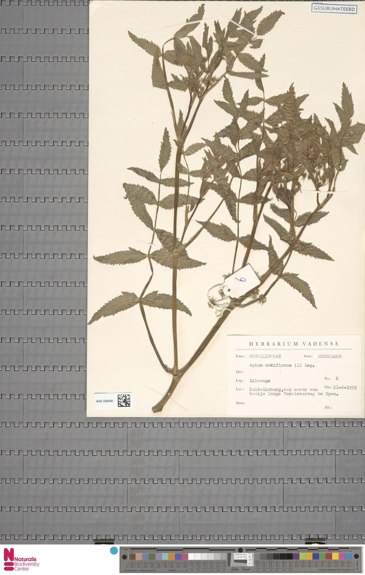 WAG.1846448   Apium nodiflorum (L.) Lag.