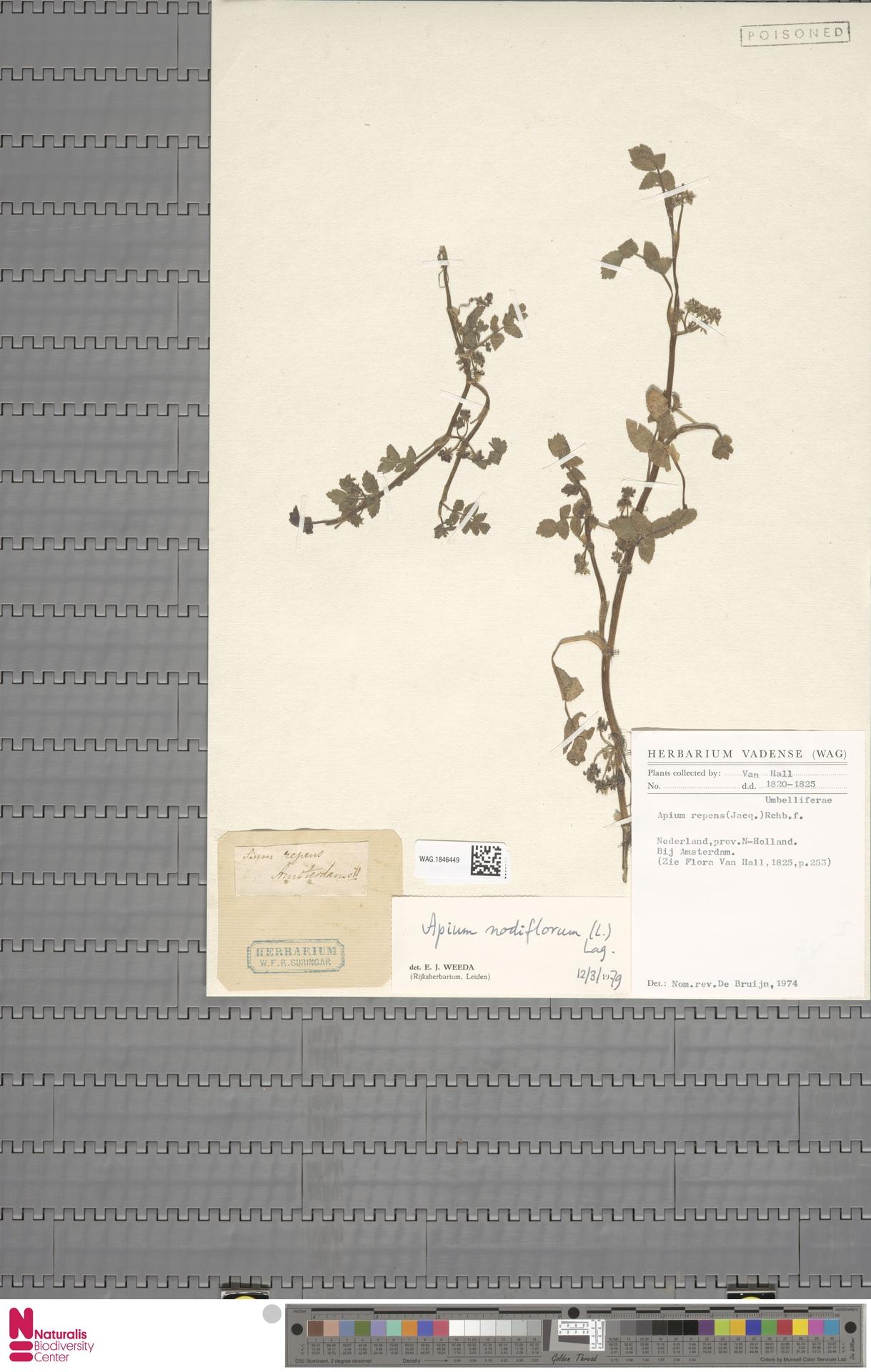 WAG.1846449   Apium nodiflorum (L.) Lag.