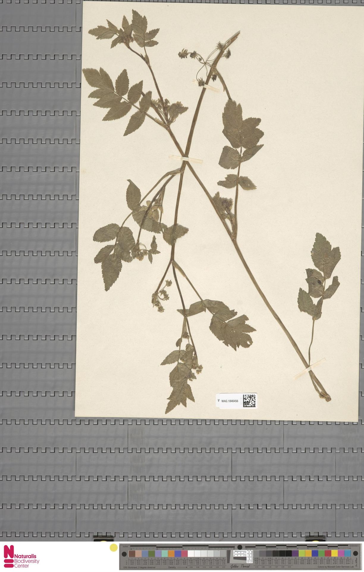 WAG.1846456 | Apium nodiflorum (L.) Lag.