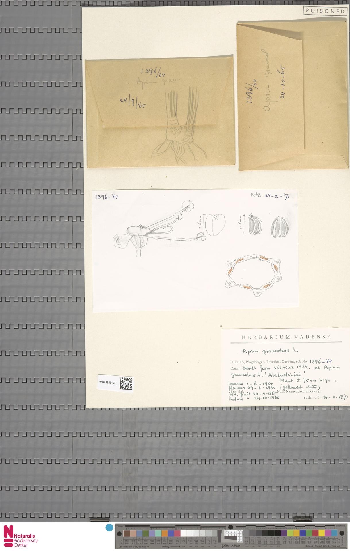 WAG.1846464 | Apium graveolens L.