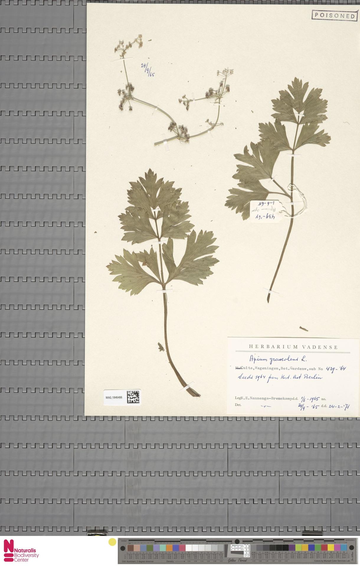 WAG.1846466 | Apium graveolens L.