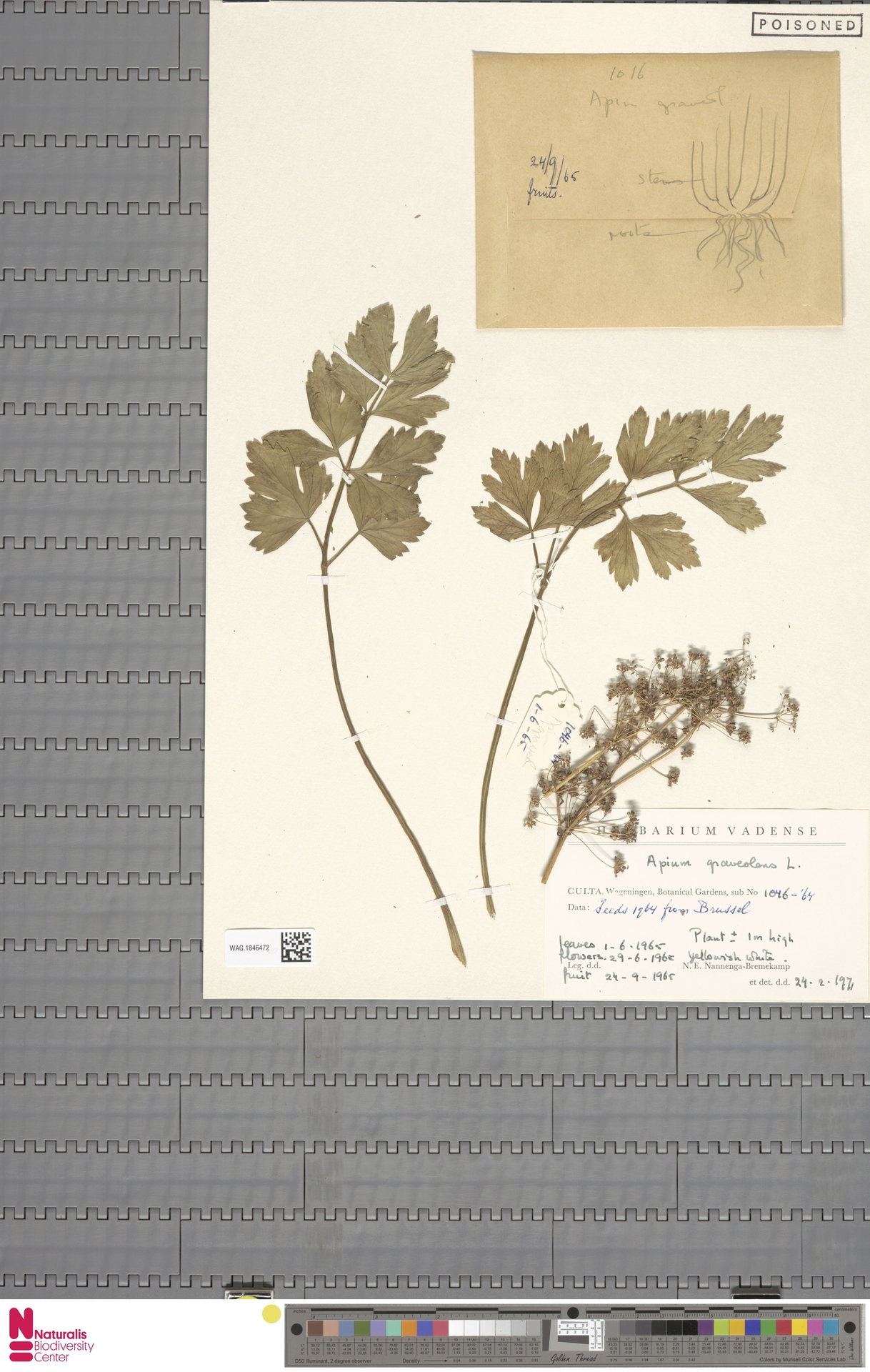WAG.1846472   Apium graveolens L.