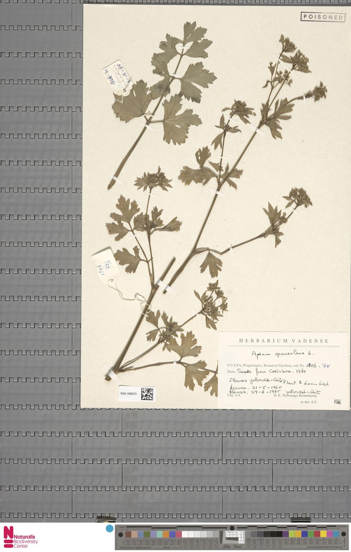 WAG.1846473 | Apium graveolens L.