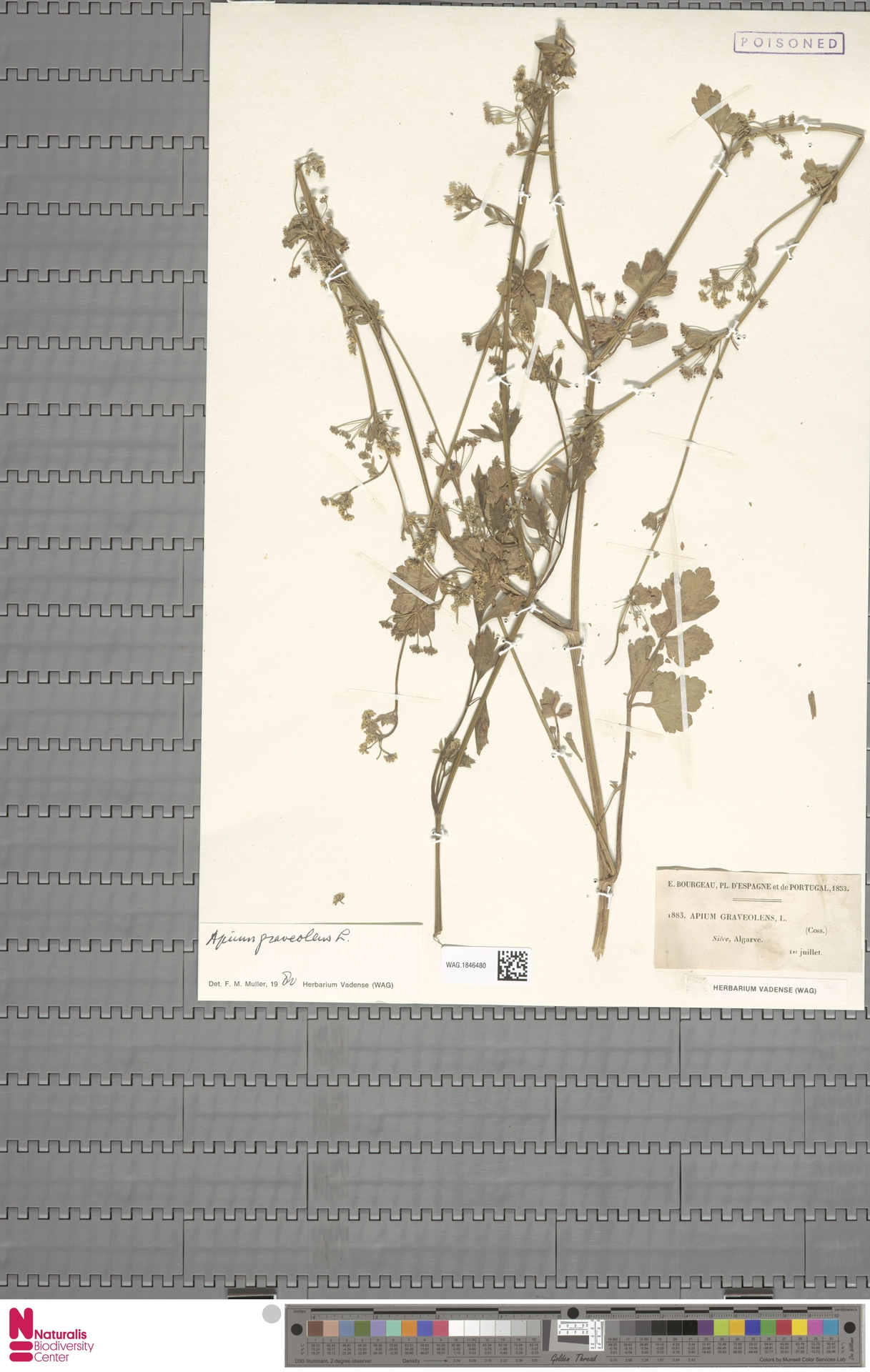 WAG.1846480   Apium graveolens L.