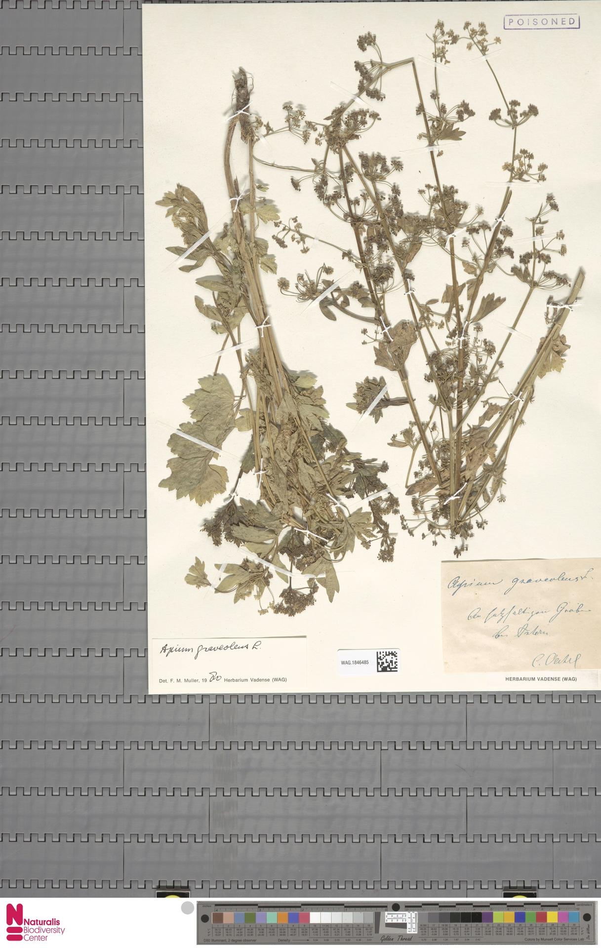 WAG.1846485 | Apium graveolens L.