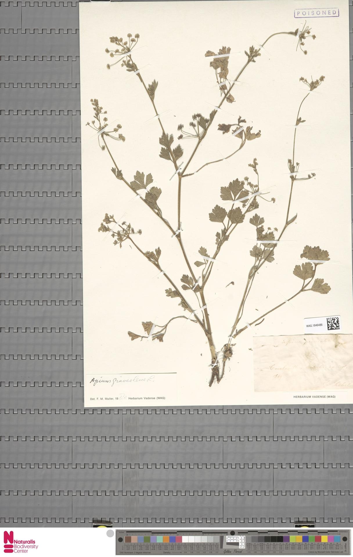 WAG.1846486   Apium graveolens L.