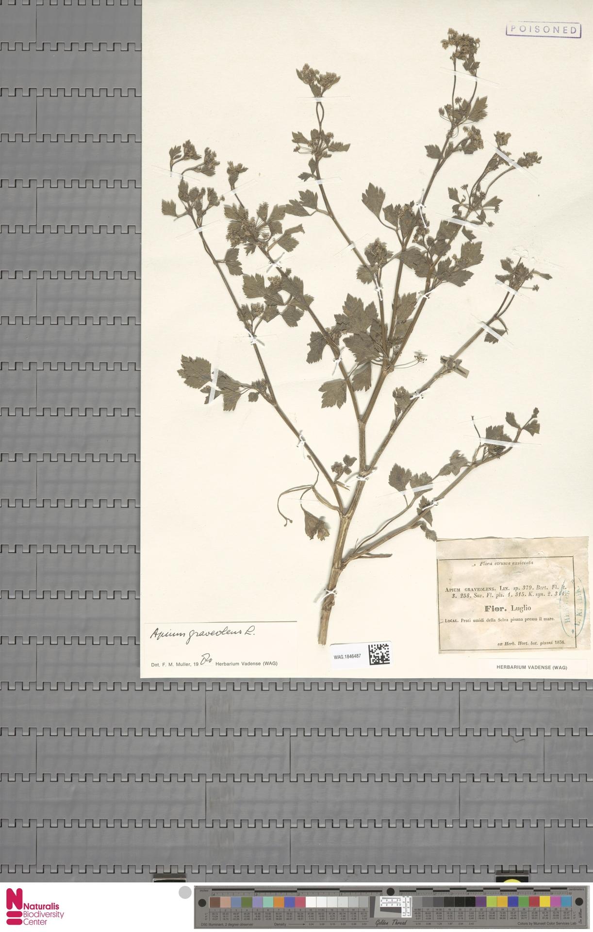 WAG.1846487 | Apium graveolens L.